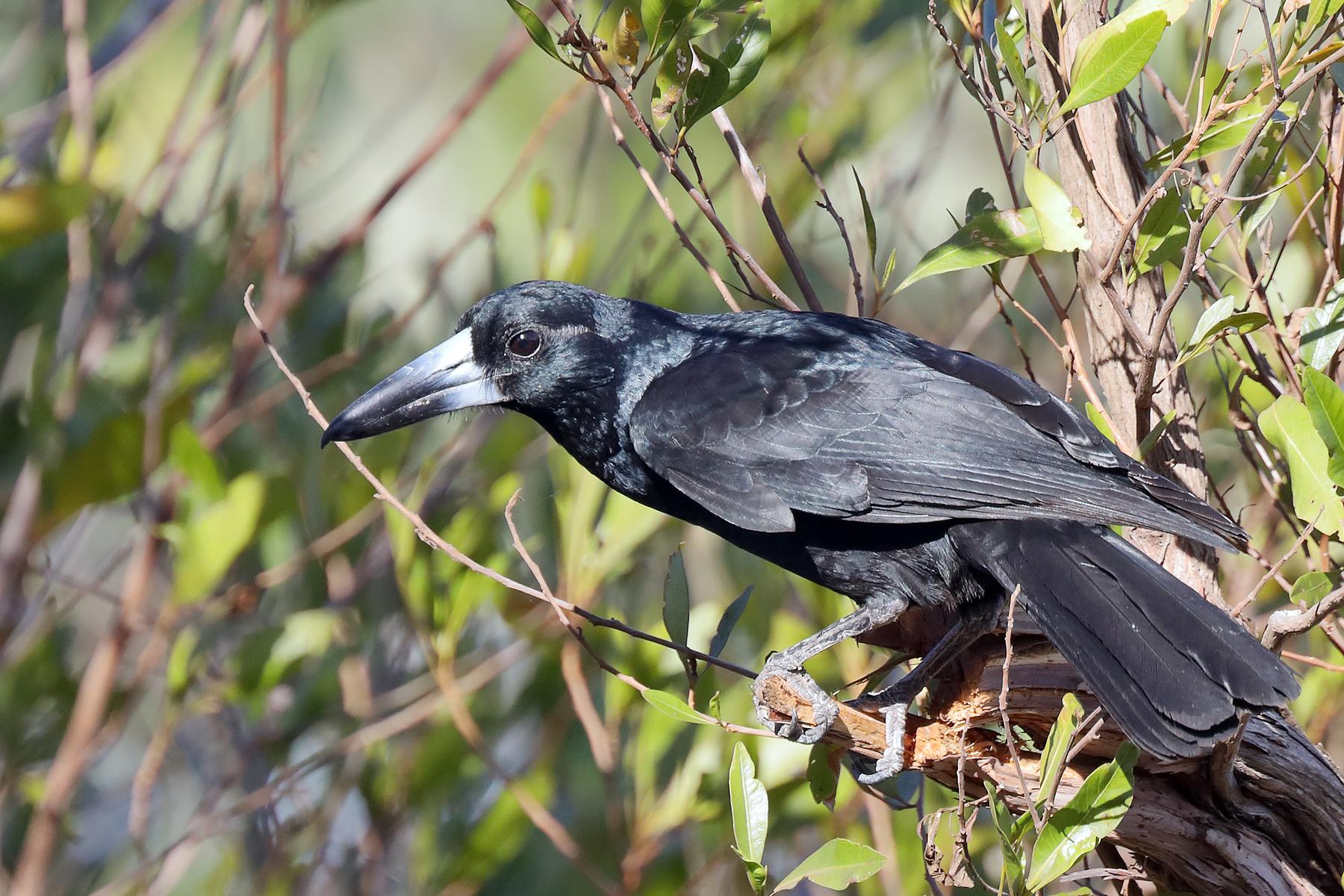 Black Butcherbird (Image ID 43152)