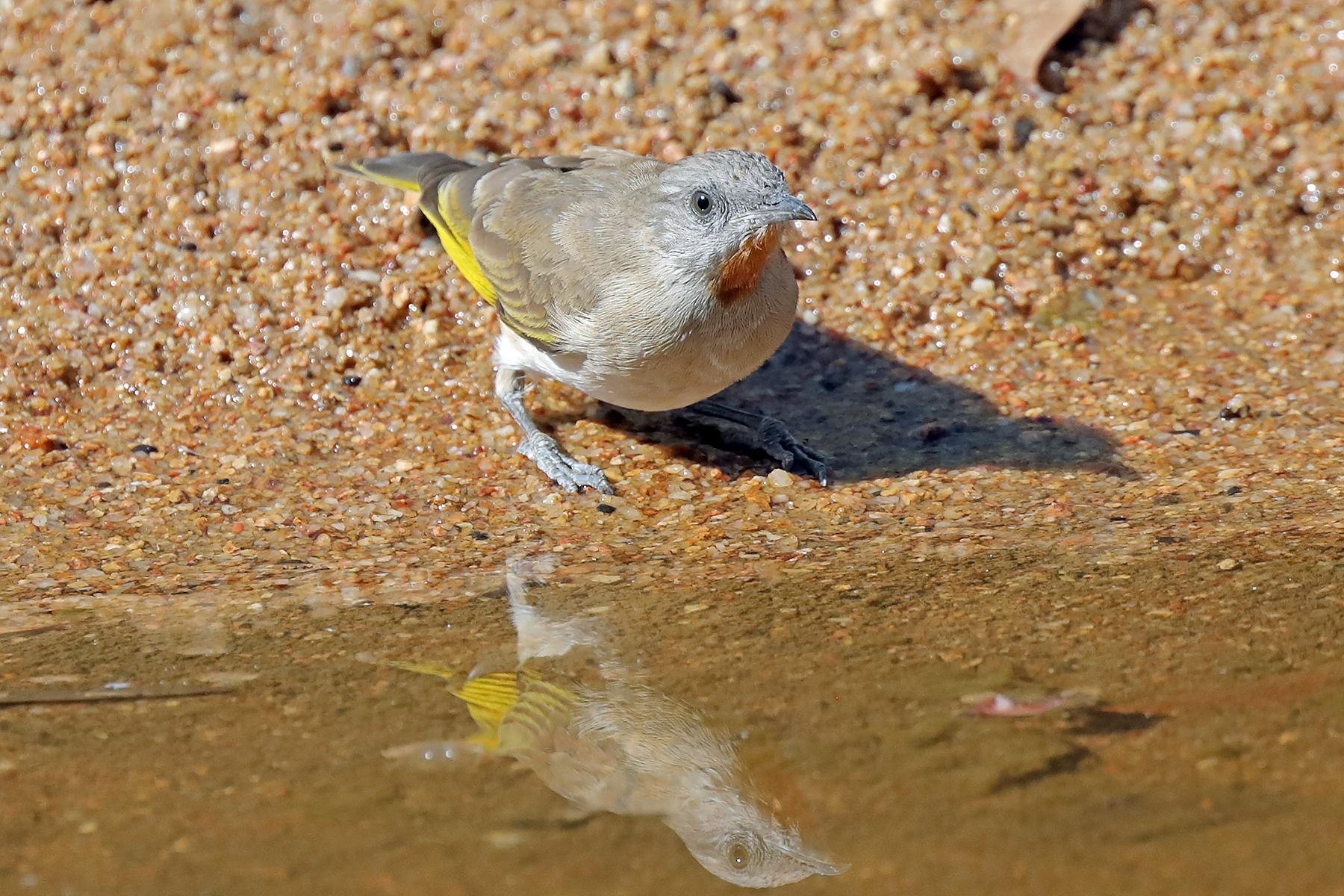 Rufous-throated Honeyeater (Image ID 42991)