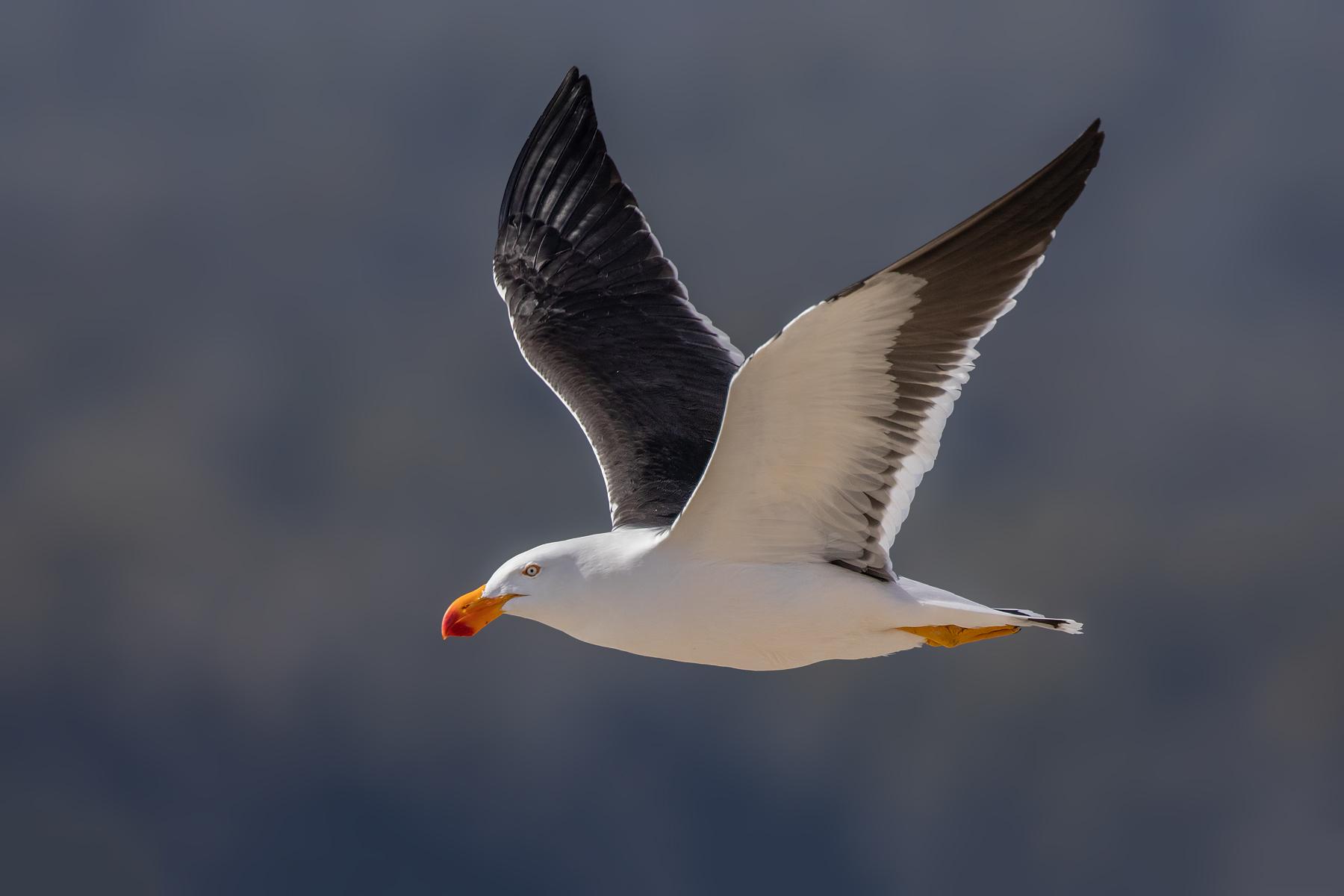 Pacific Gull (Image ID 43037)
