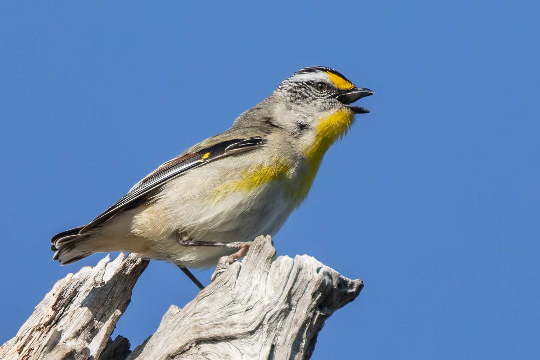Striated Pardalote (Image ID 42828)