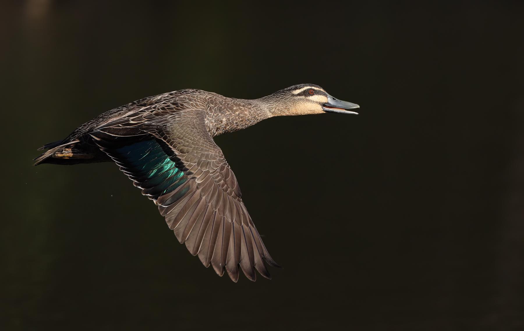 Pacific Black Duck (Image ID 42640)