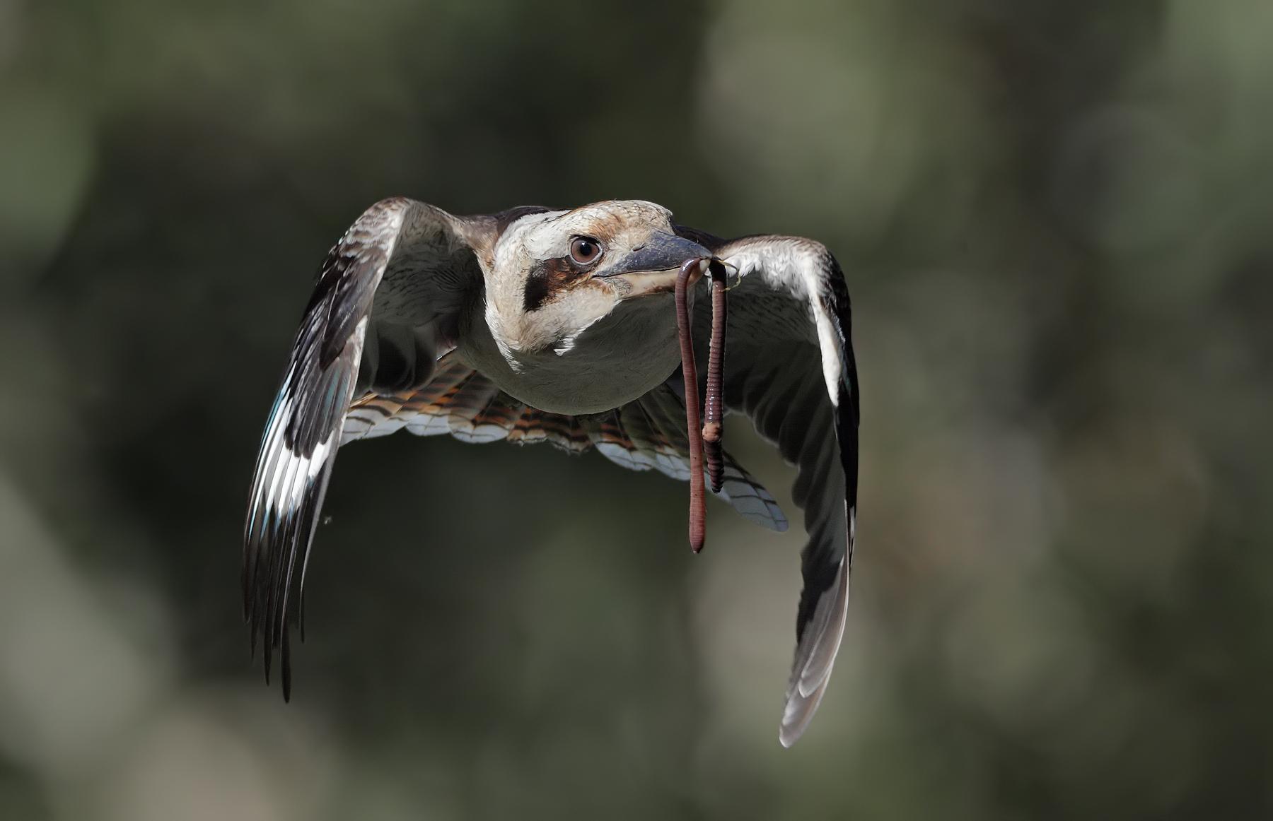 Laughing Kookaburra (Image ID 43178)