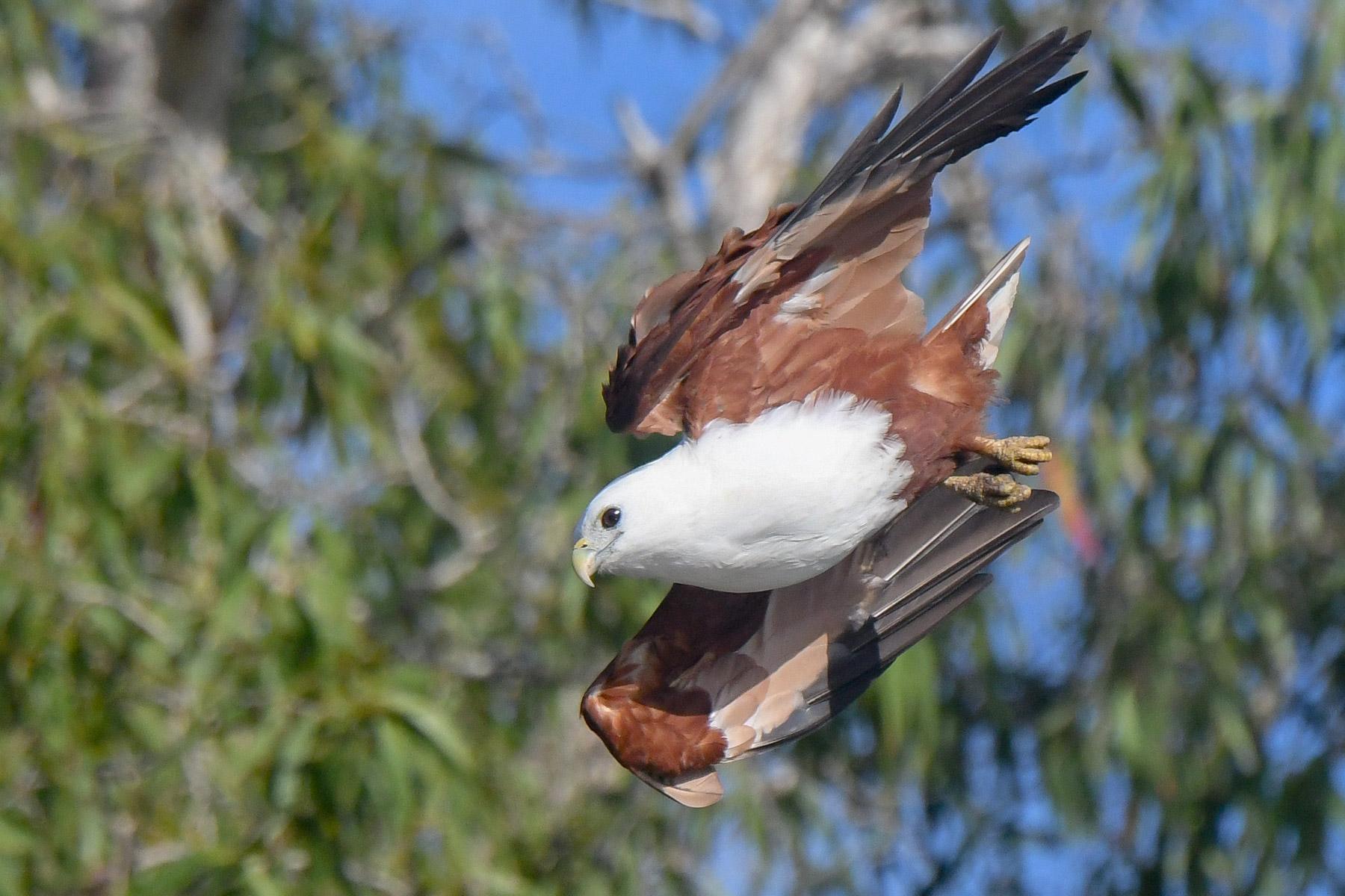 Brahminy Kite (Image ID 43129)