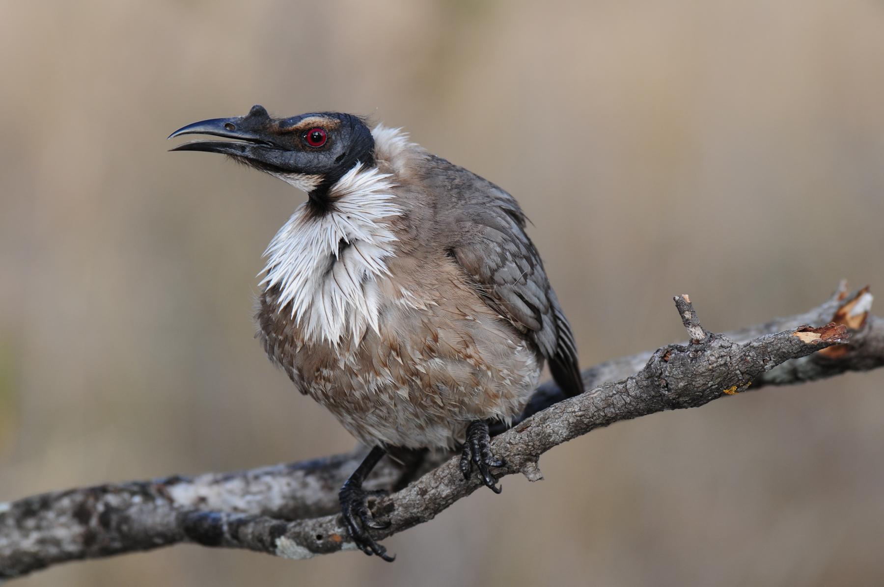 Noisy Friarbird (Image ID 42827)