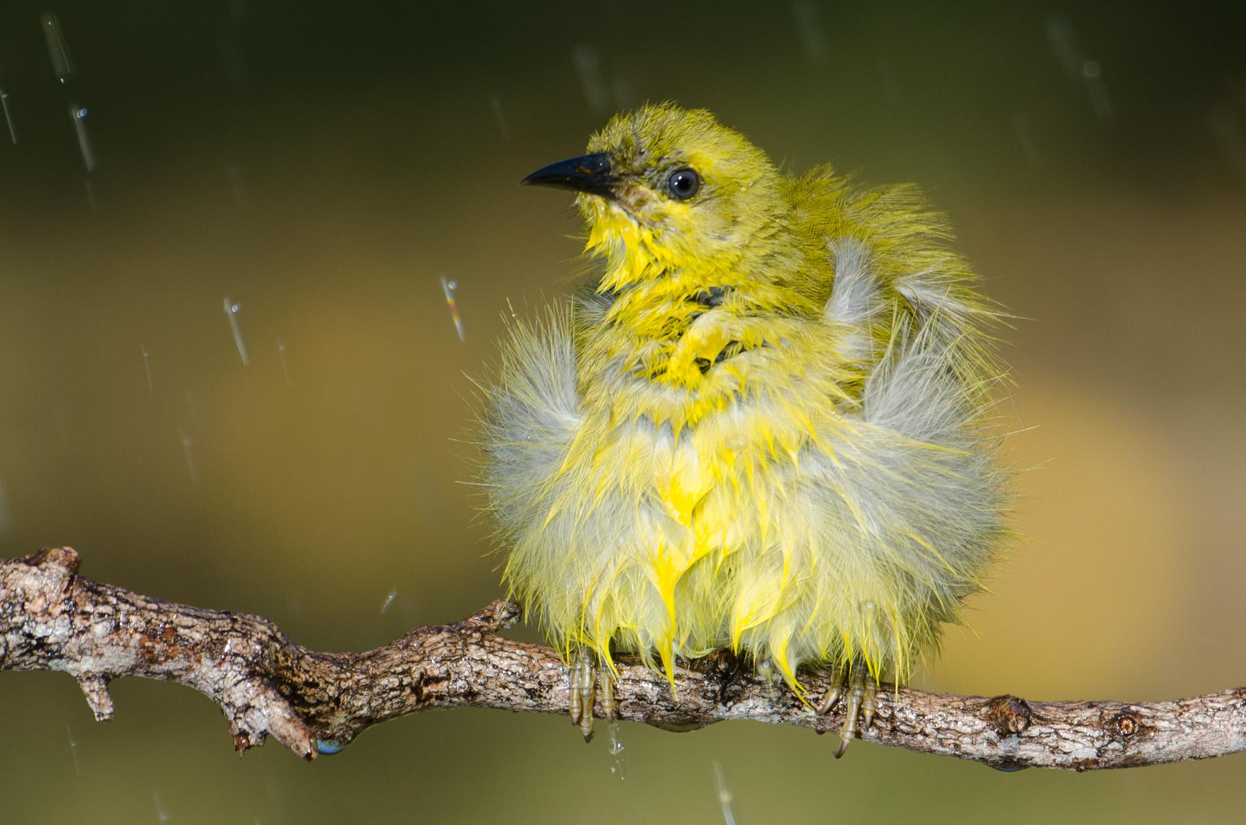 Yellow Honeyeater (Image ID 42933)