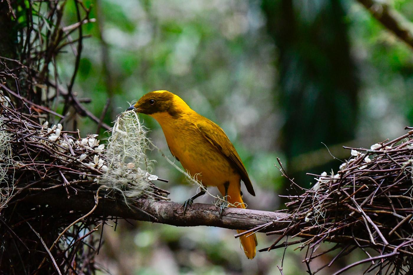 Golden Bowerbird (Image ID 43194)