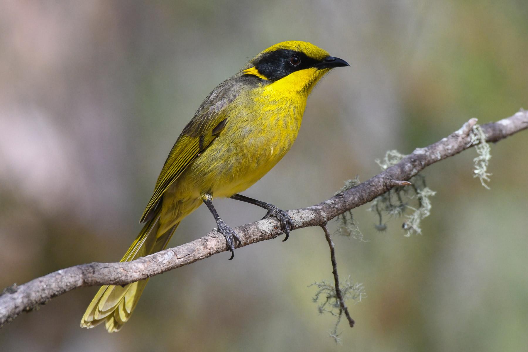 Yellow-tufted Honeyeater (Image ID 43143)