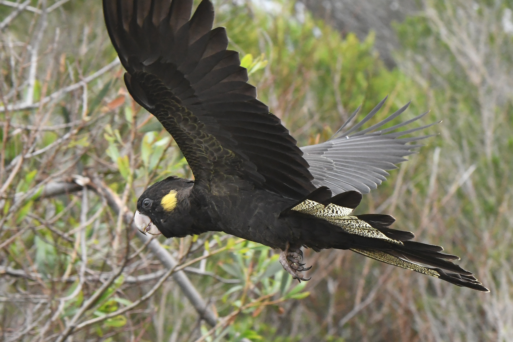 Yellow-tailed Black-Cockatoo (Image ID 42712)