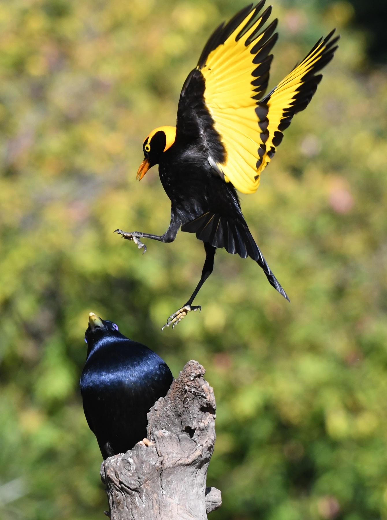 Regent Bowerbird, Satin Bowerbird (Image ID 42851)