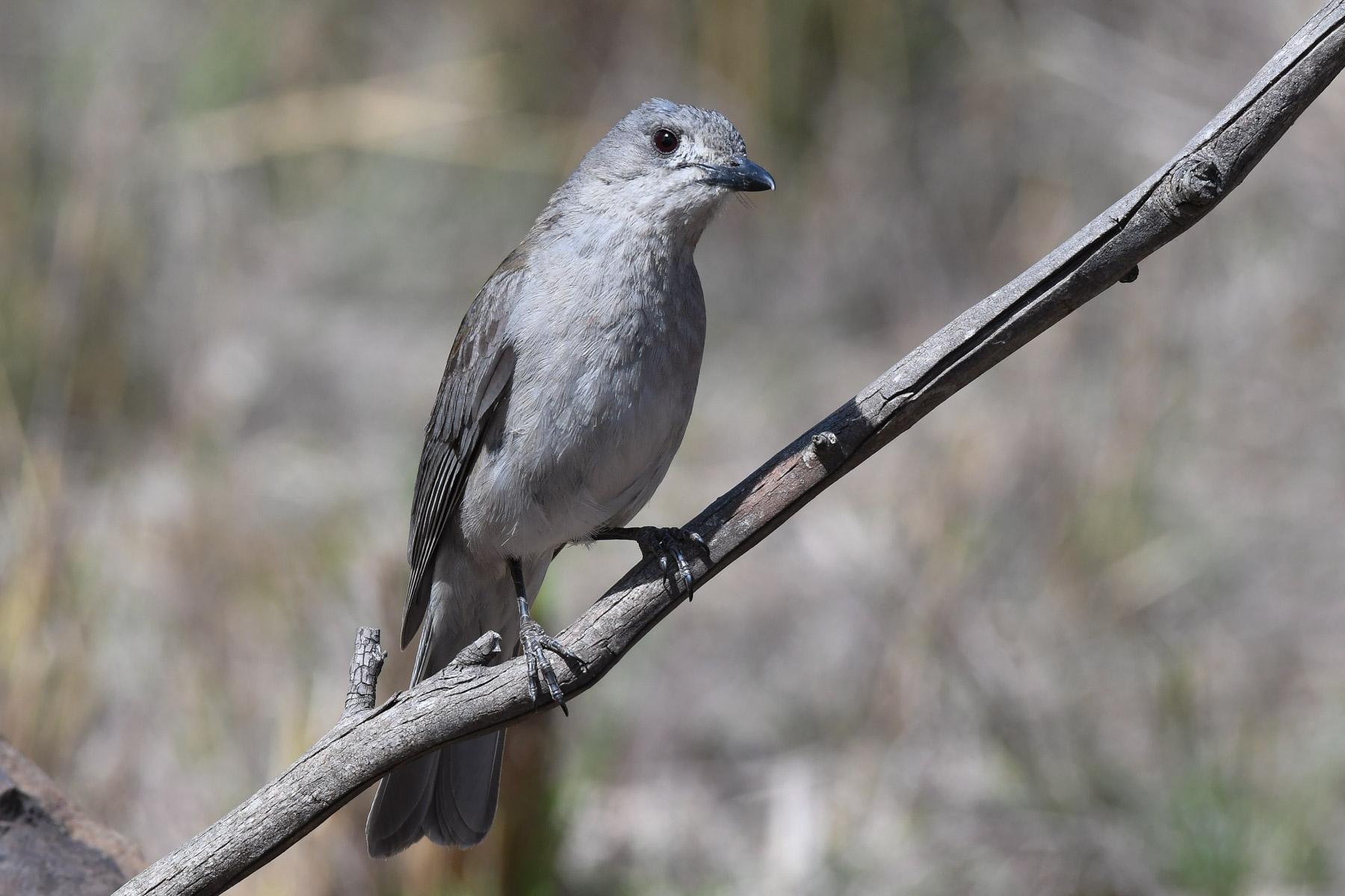 Grey Shrike-thrush (Image ID 42963)