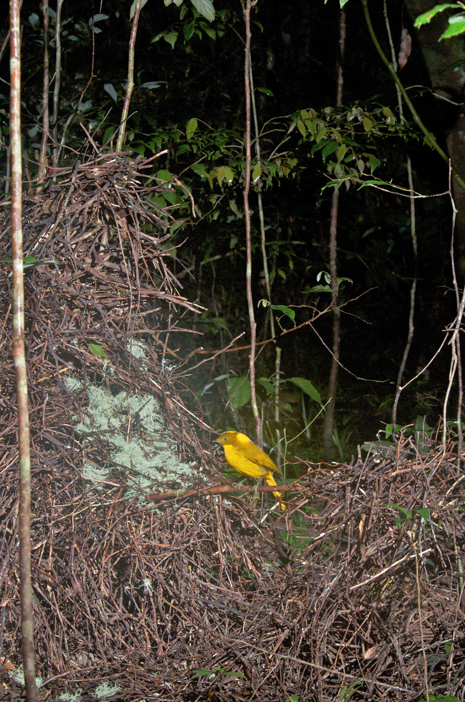 Golden Bowerbird (Image ID 43193)