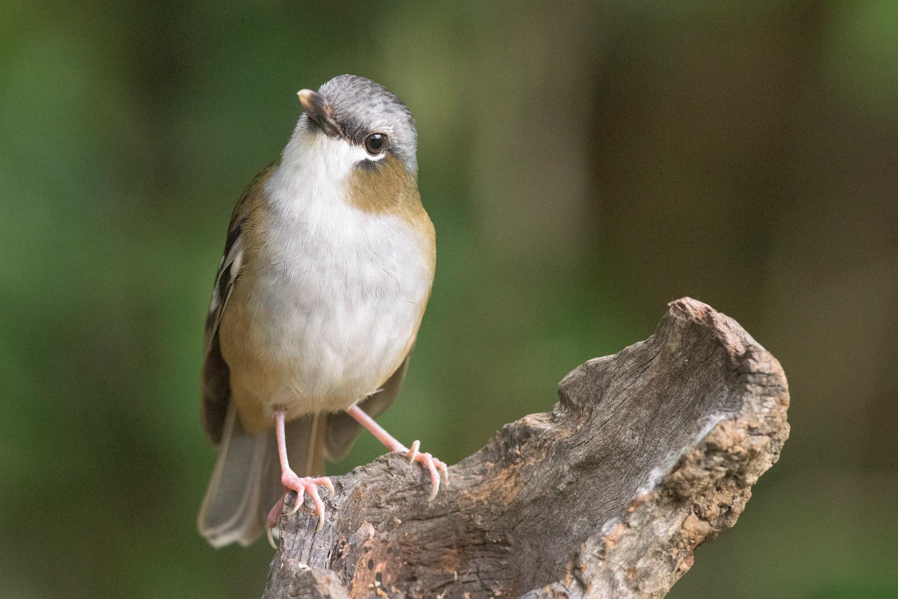 Grey-headed Robin (Image ID 43031)