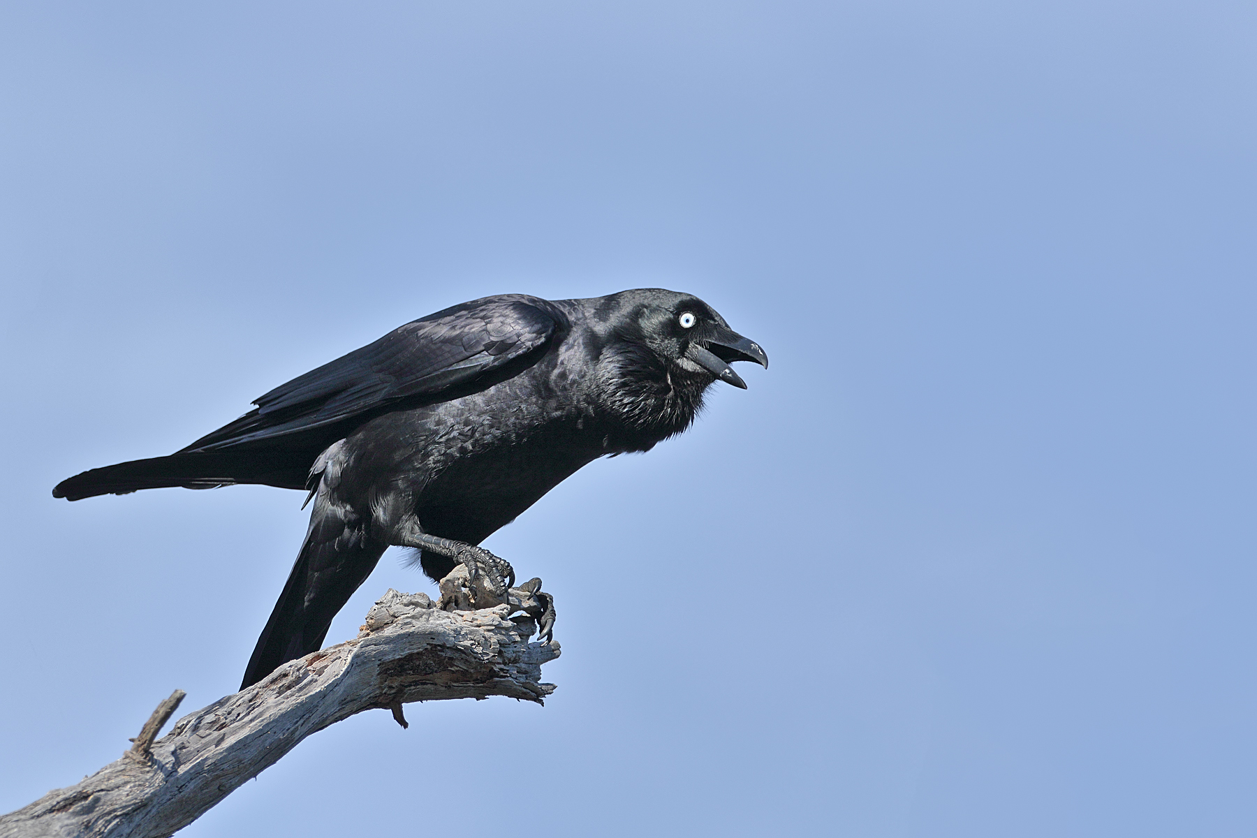 Forest Raven (Image ID 42867)