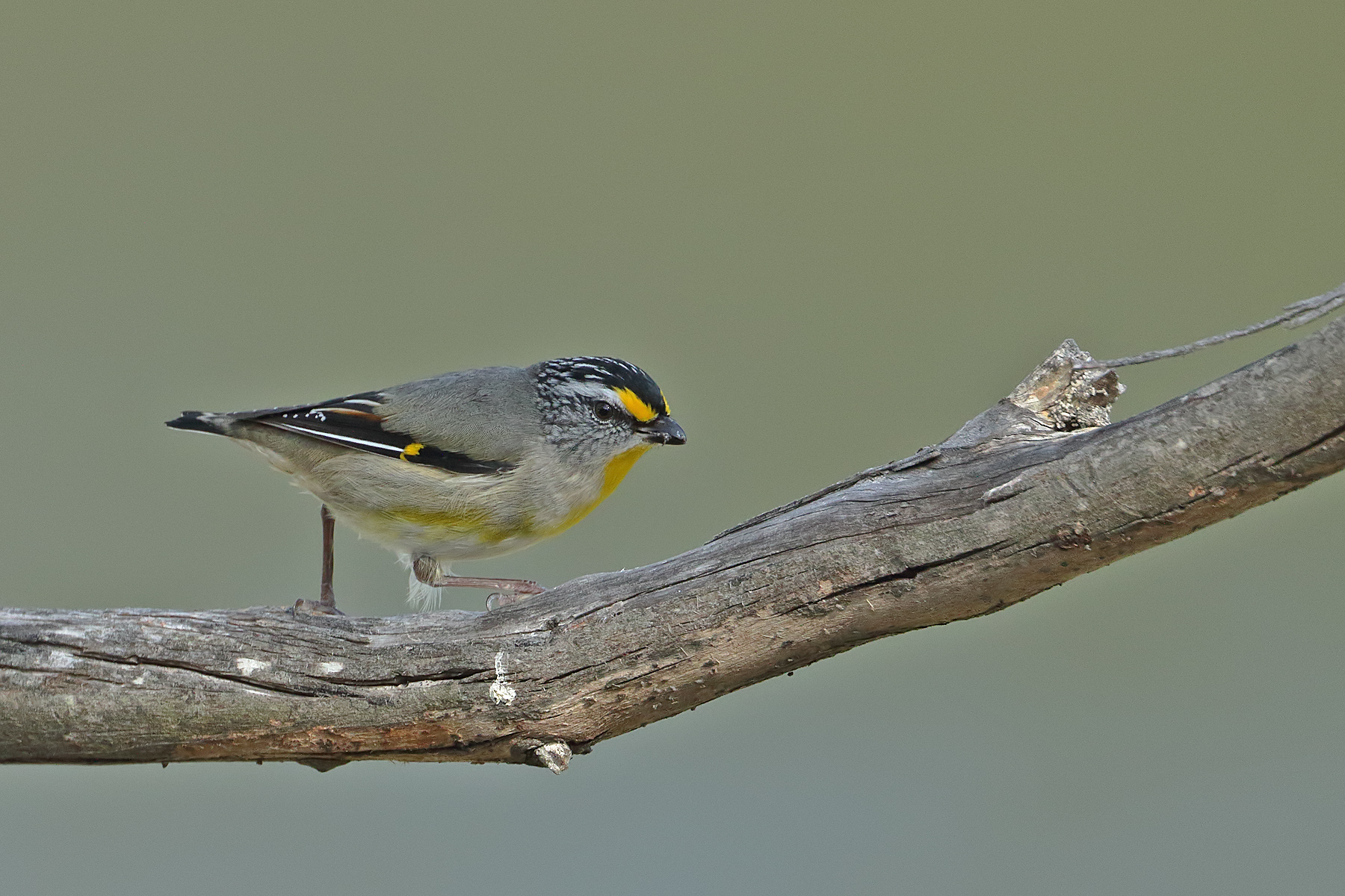 Striated Pardalote (Image ID 42866)