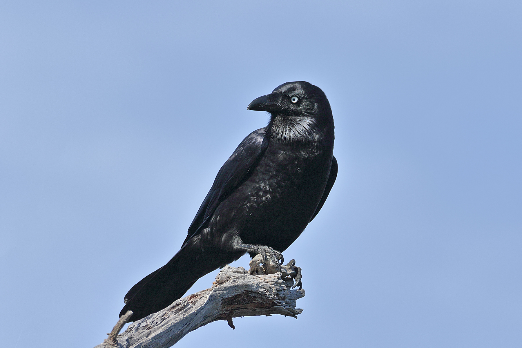 Forest Raven (Image ID 42869)