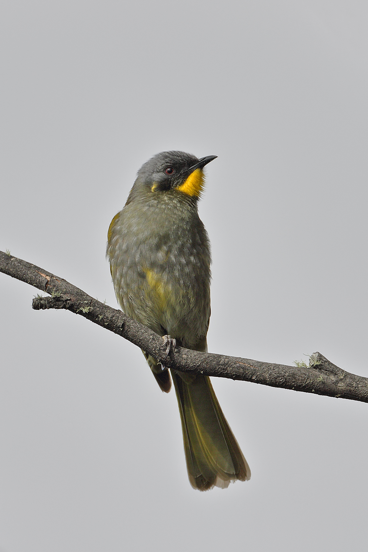 Yellow-throated Honeyeater (Image ID 42792)