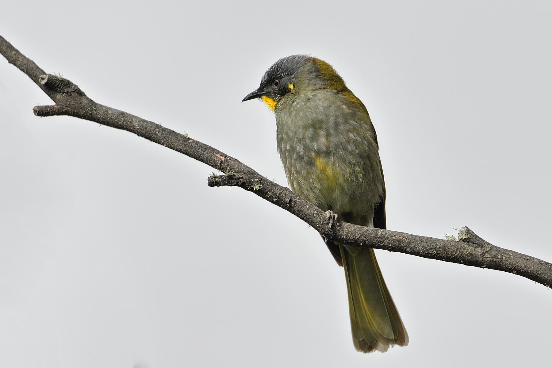 Yellow-throated Honeyeater (Image ID 42793)