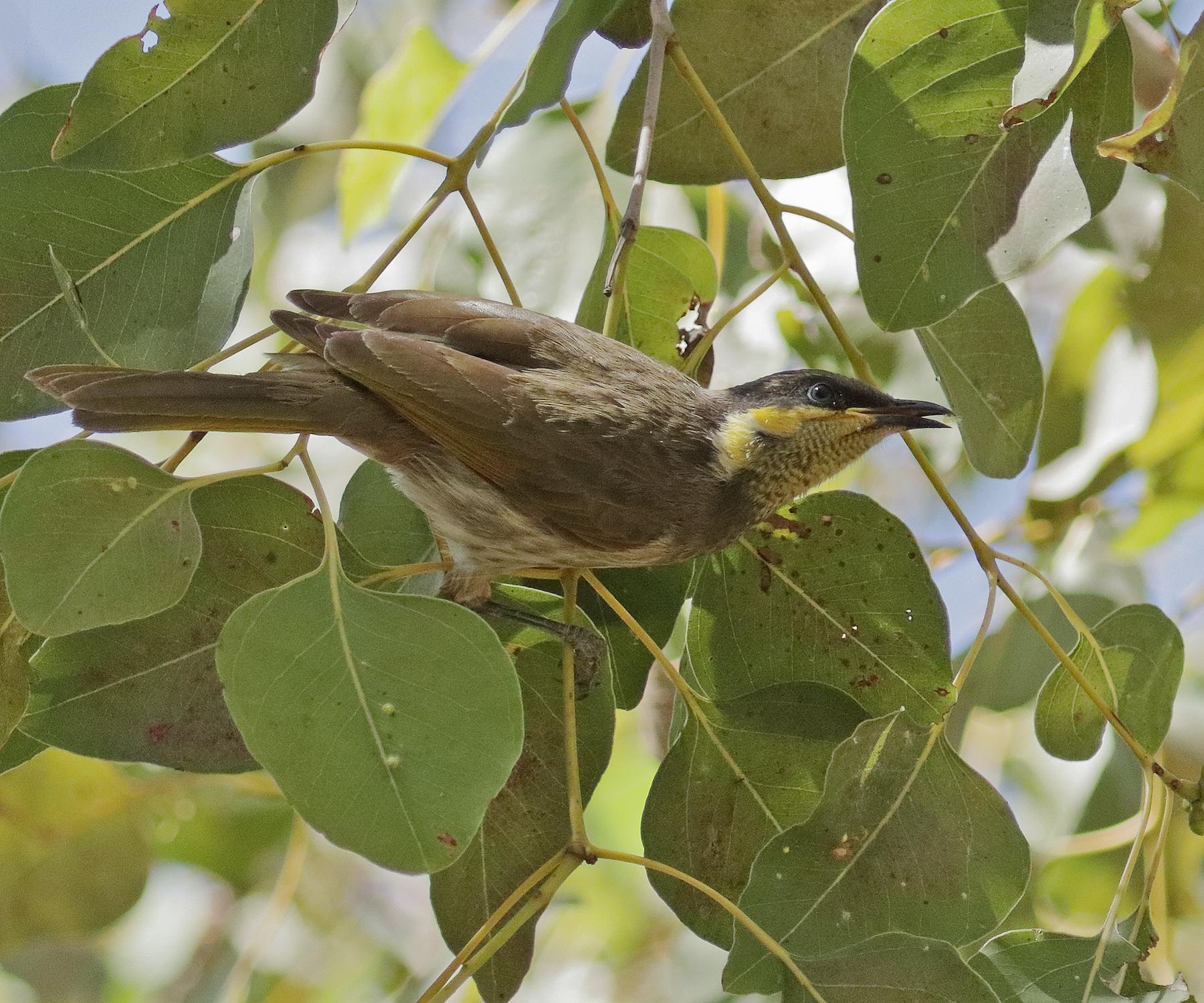 Mangrove Honeyeater (Image ID 42781)