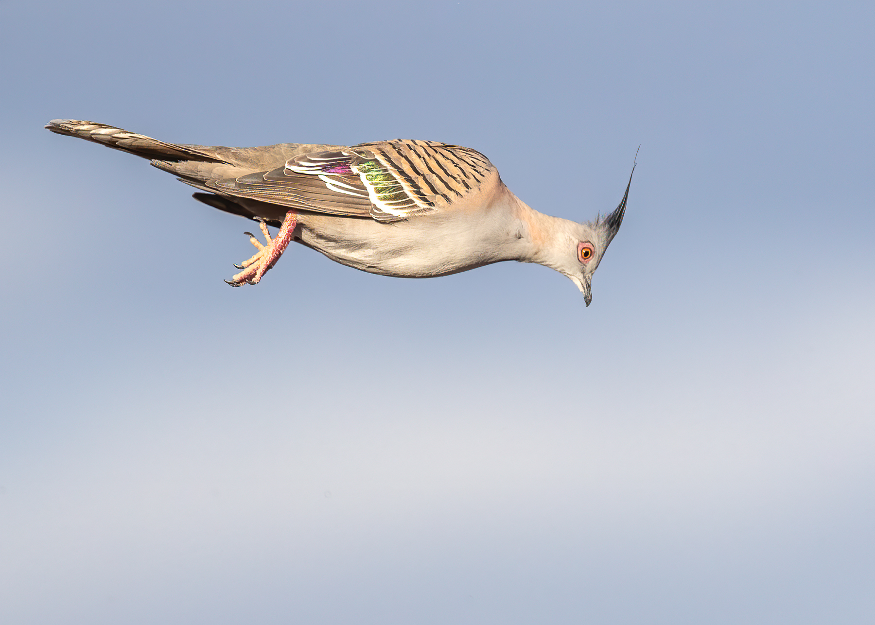 Crested Pigeon (Image ID 42673)