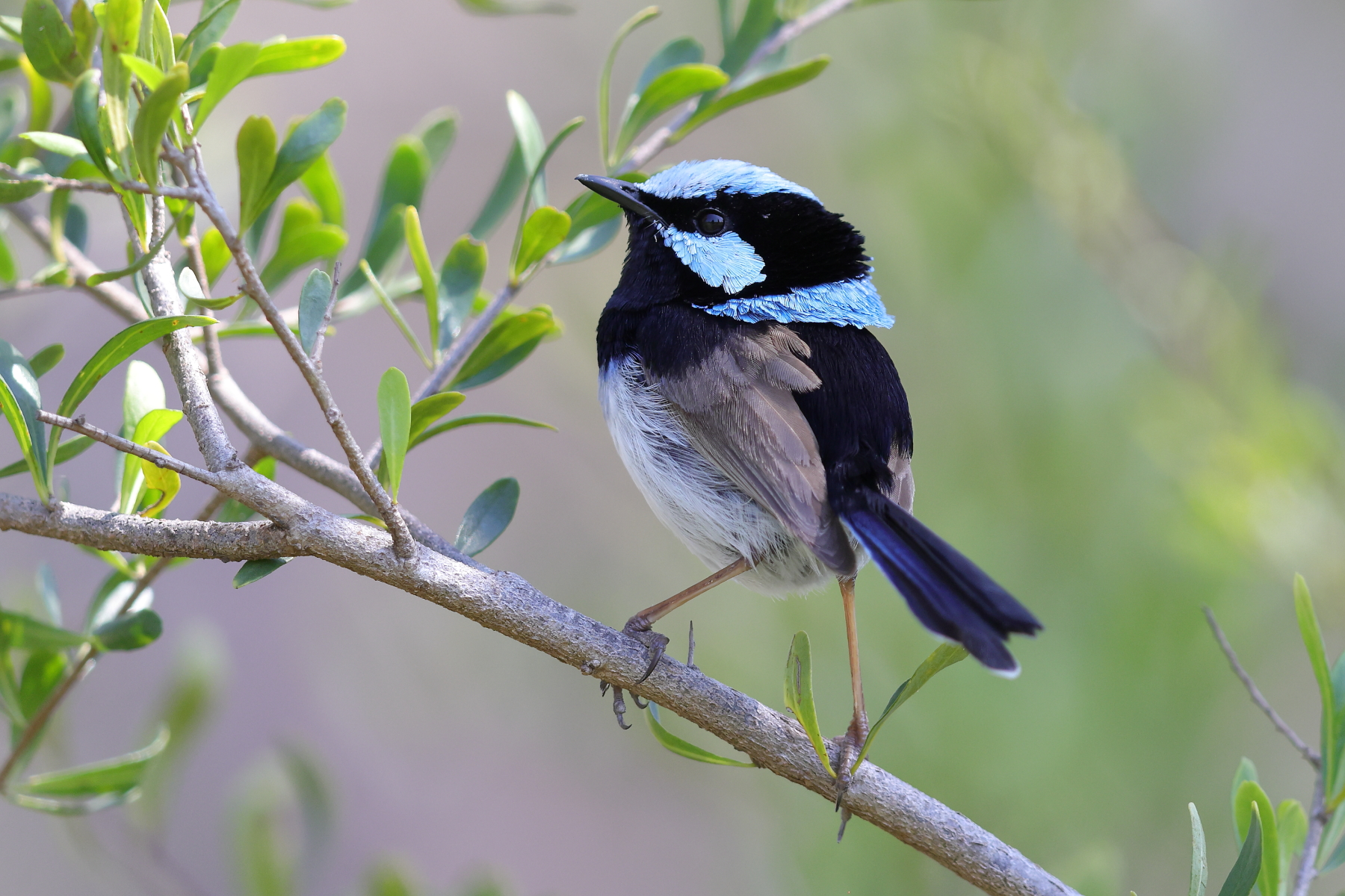 Superb Fairy-wren (Image ID 42906)