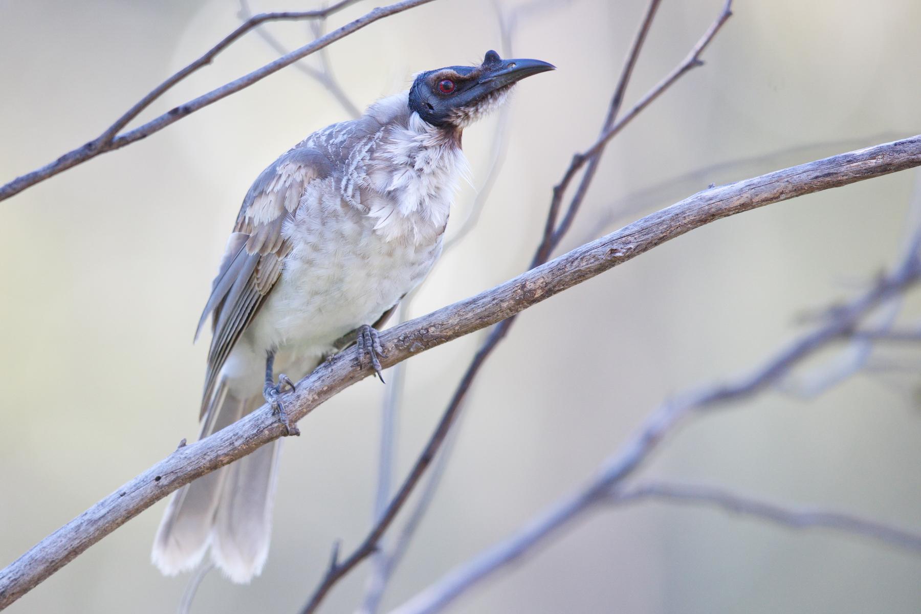 Noisy Friarbird (Image ID 42871)