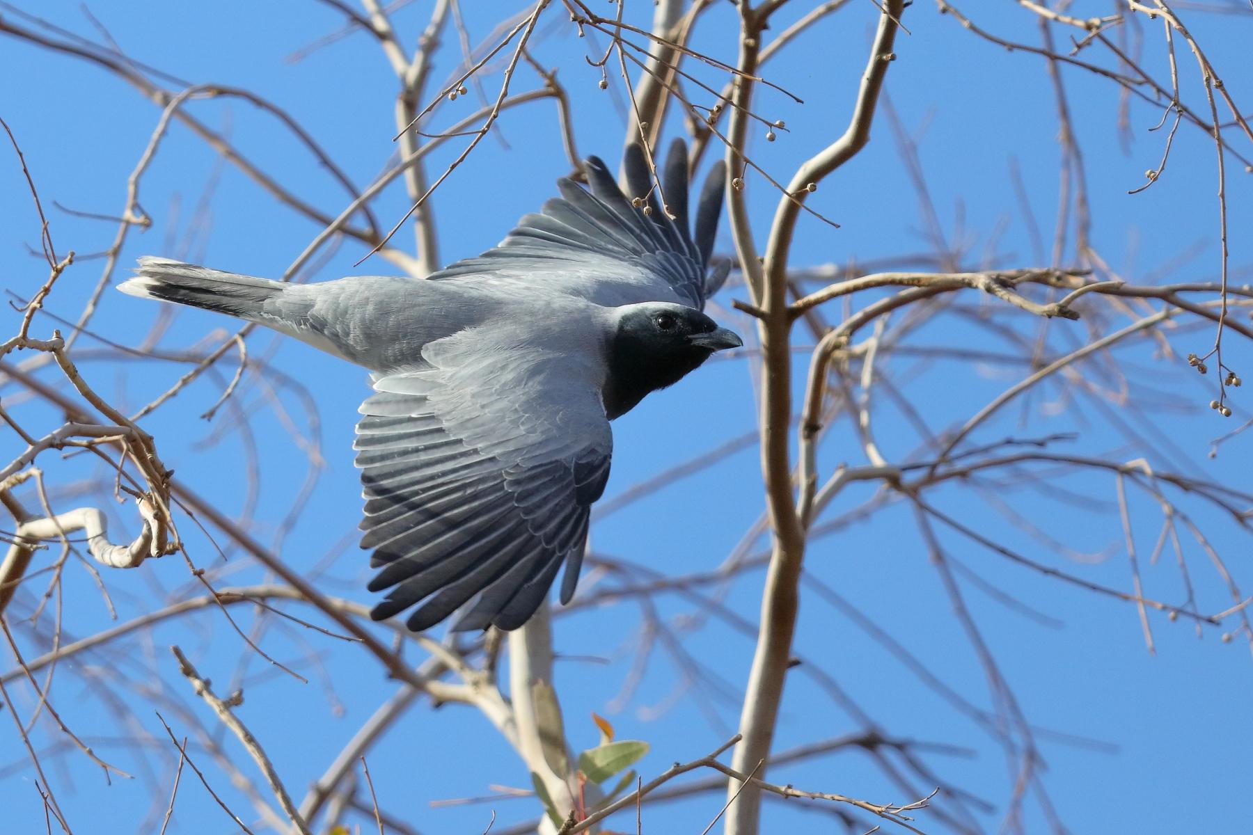 Black-faced Cuckoo-shrike (Image ID 43130)