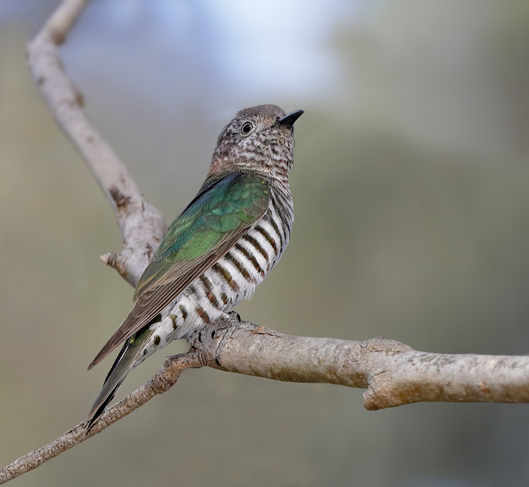 Shining Bronze-Cuckoo (Image ID 42903)