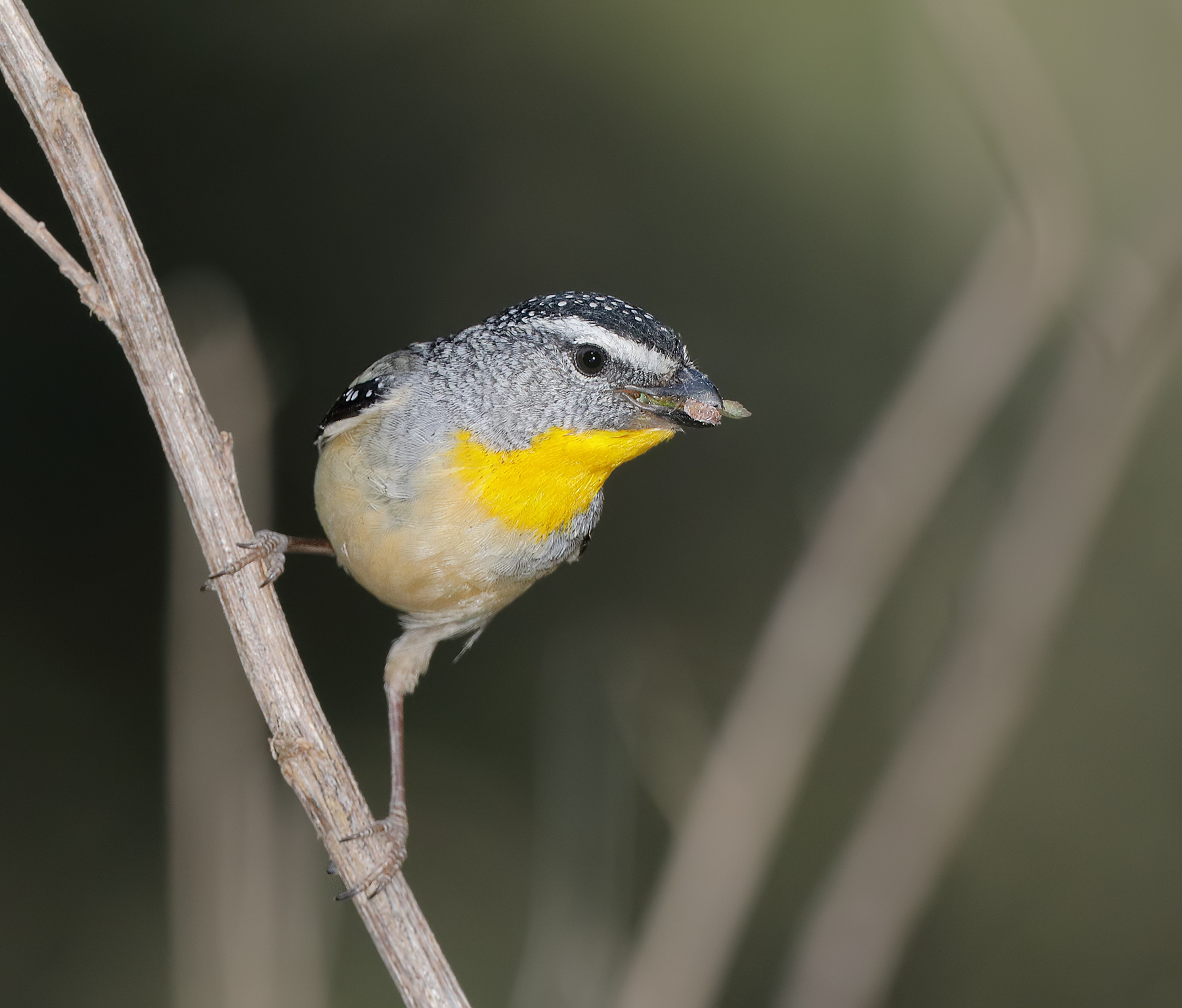 Spotted Pardalote (Image ID 42904)