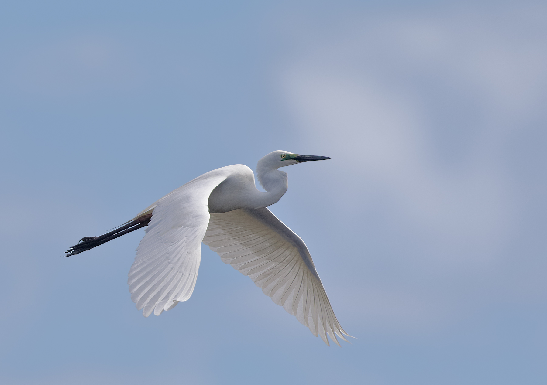 Great Egret (Image ID 43159)