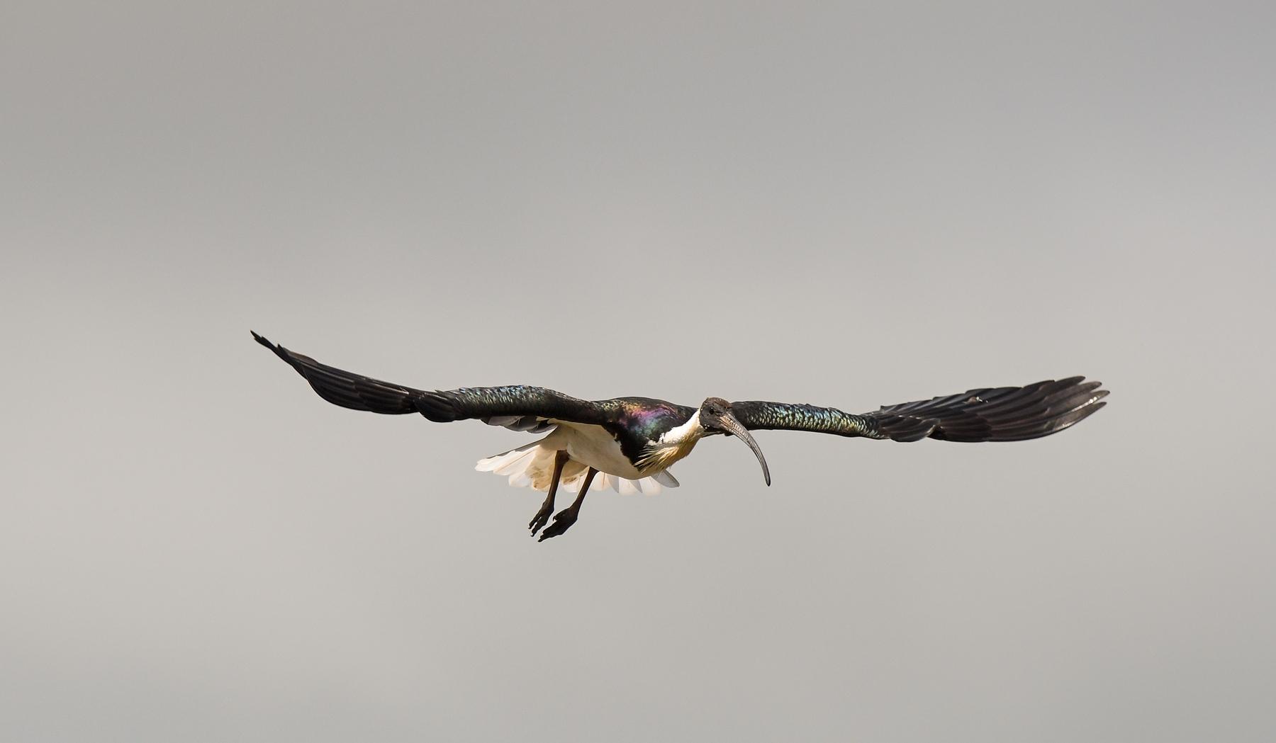 Straw-necked Ibis (Image ID 42666)