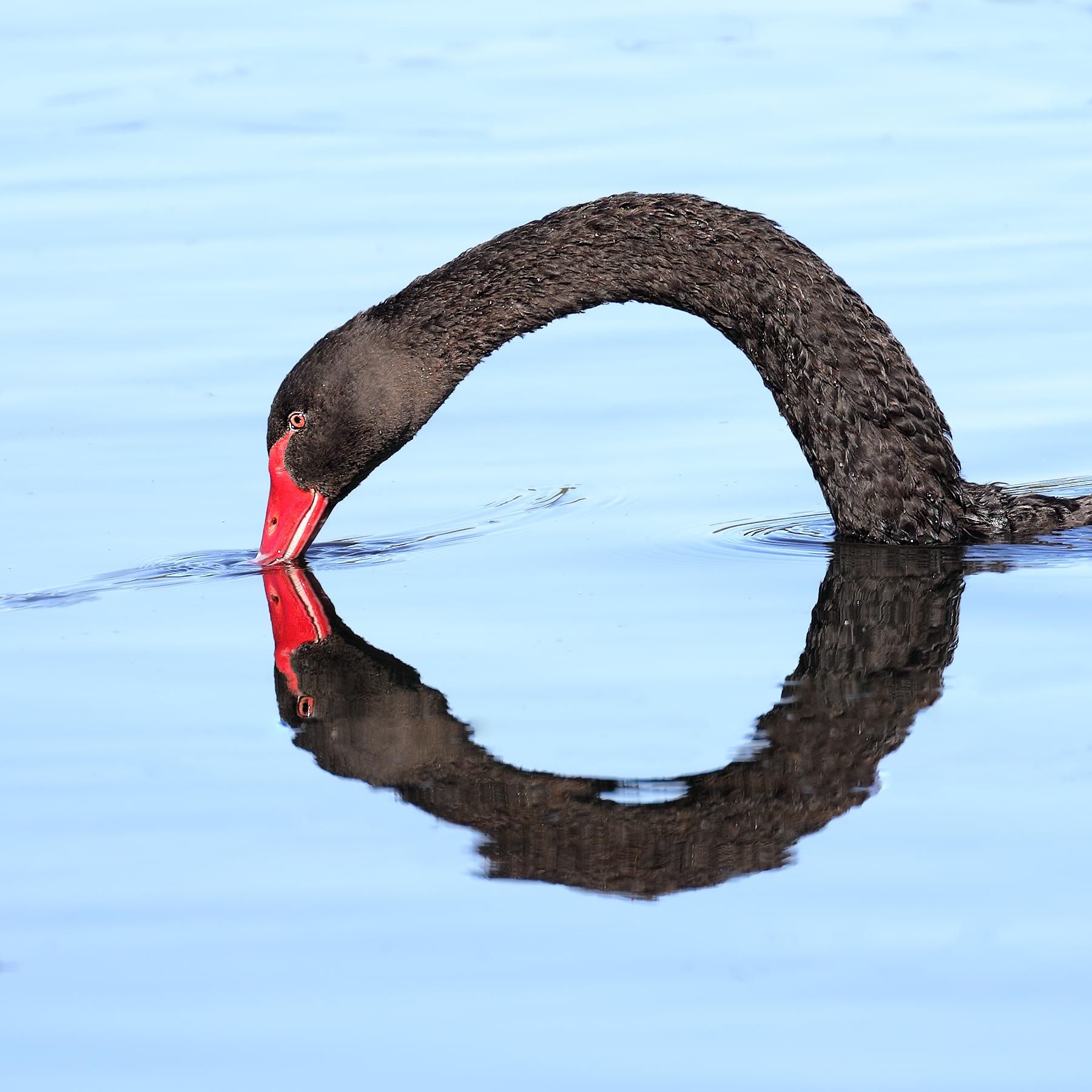 Black Swan (Image ID 42732)