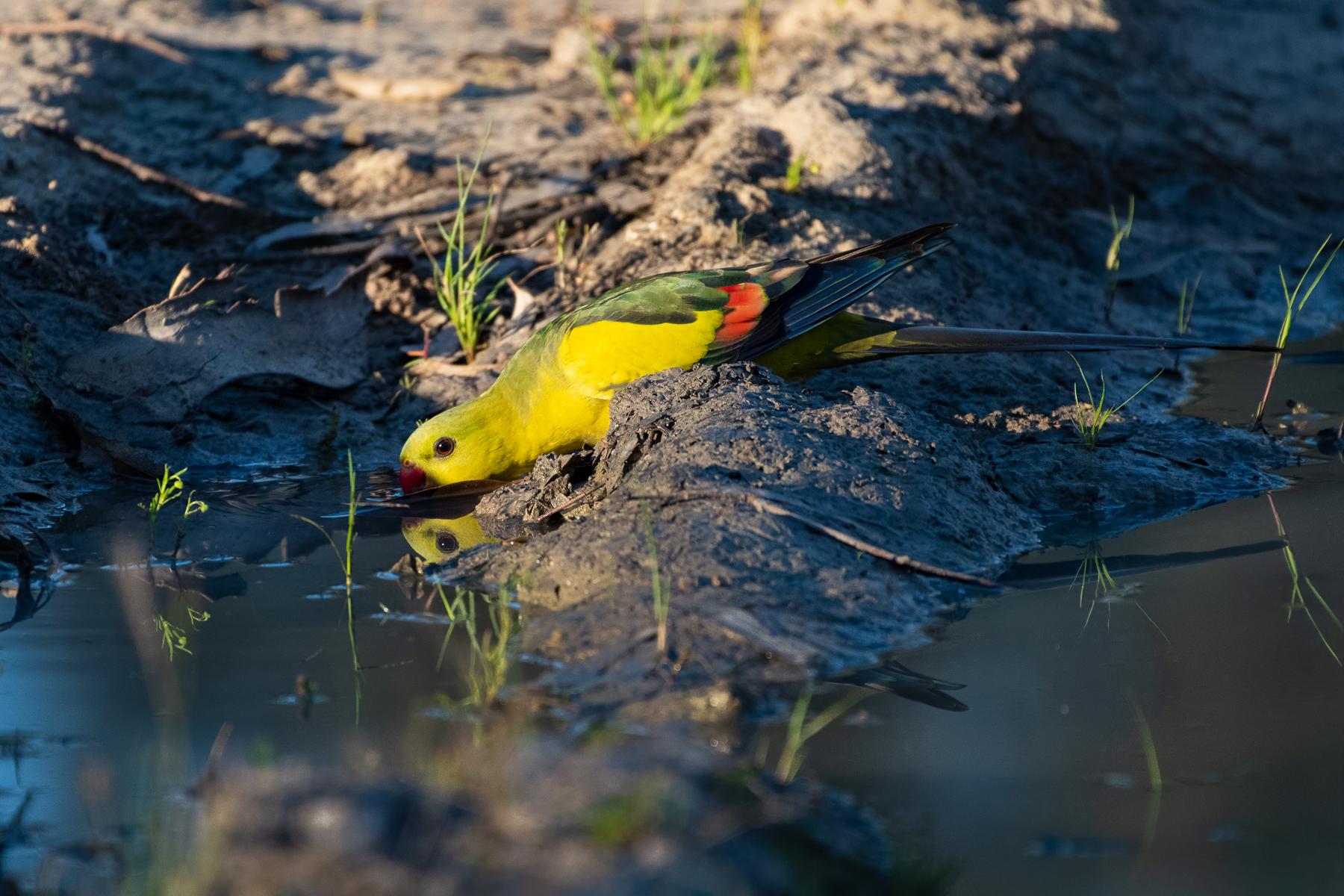 Regent Parrot (Image ID 43187)