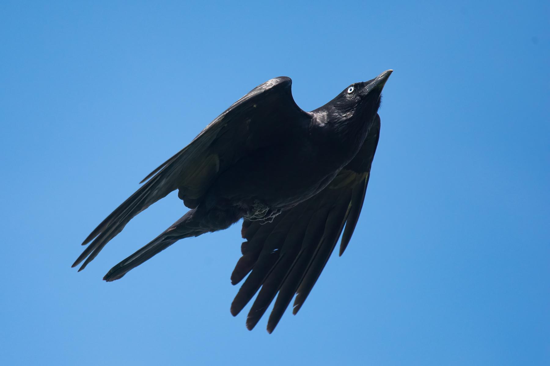 Little Raven (Image ID 42958)