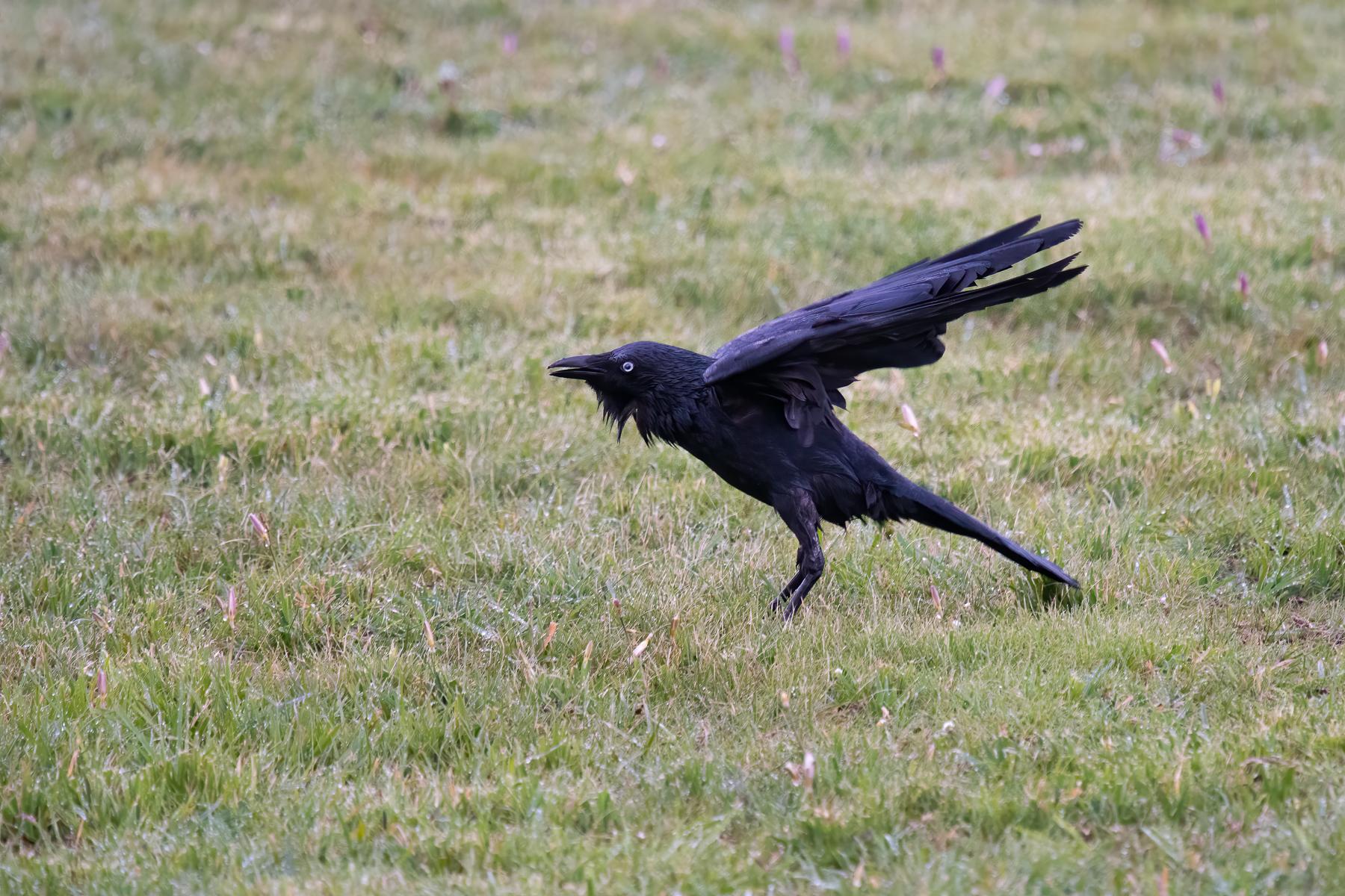 Little Raven (Image ID 42959)