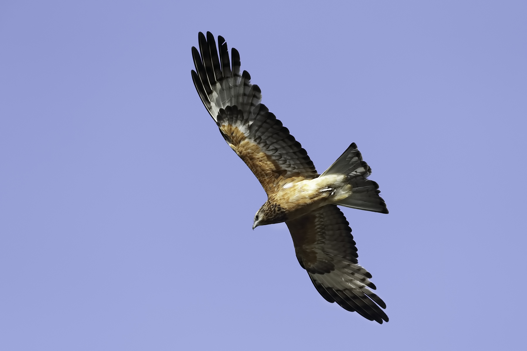 Square-tailed Kite (Image ID 43092)