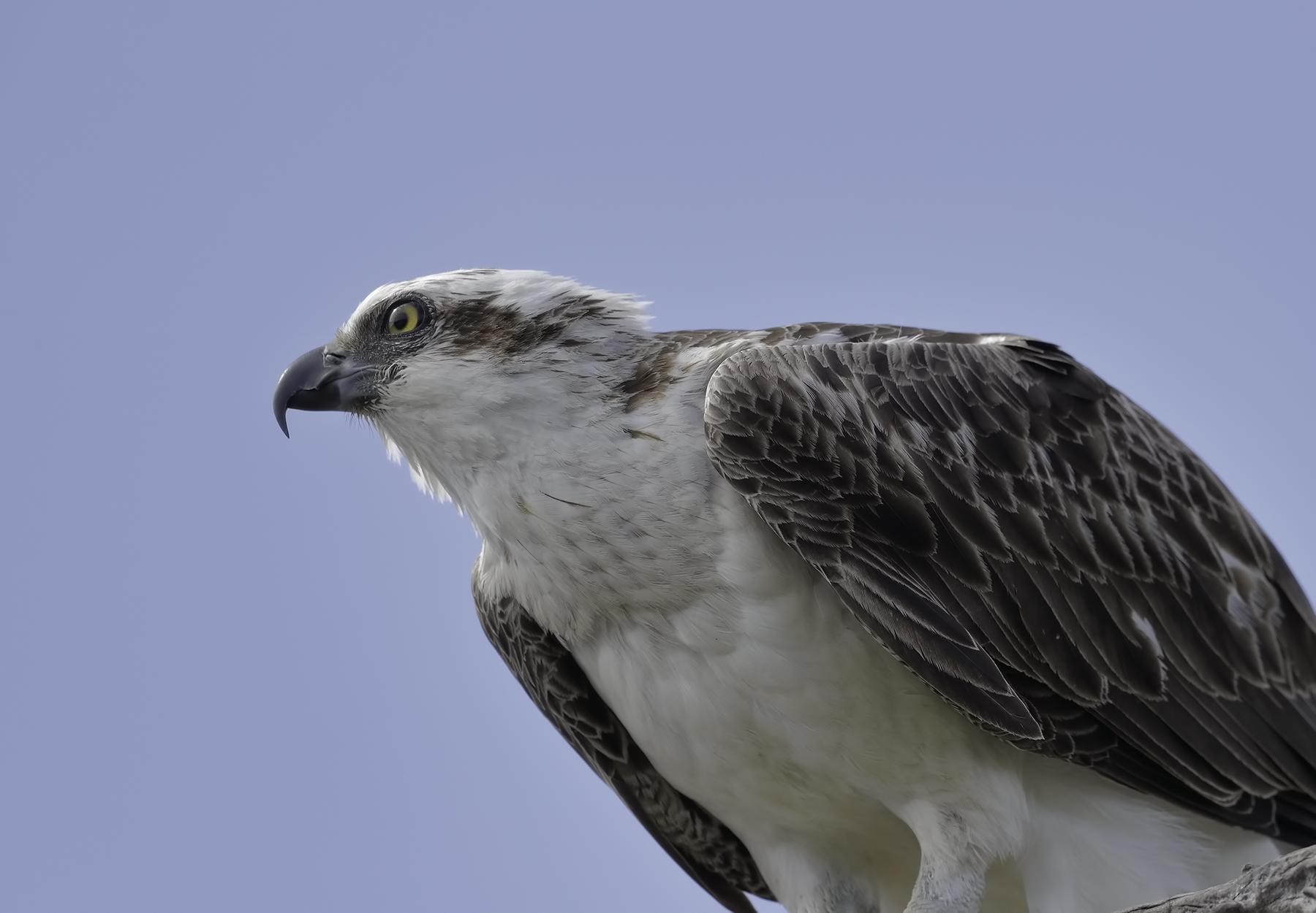 Osprey (Image ID 42913)