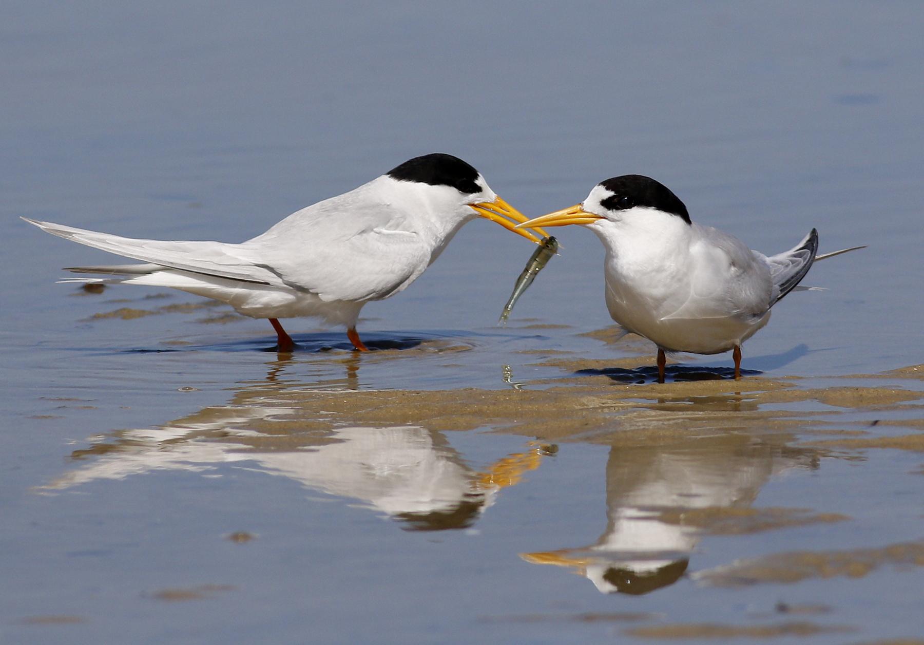 Fairy Tern (Image ID 42636)