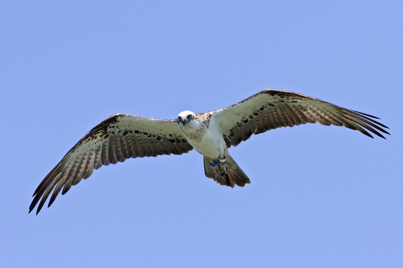 Osprey (Image ID 42706)