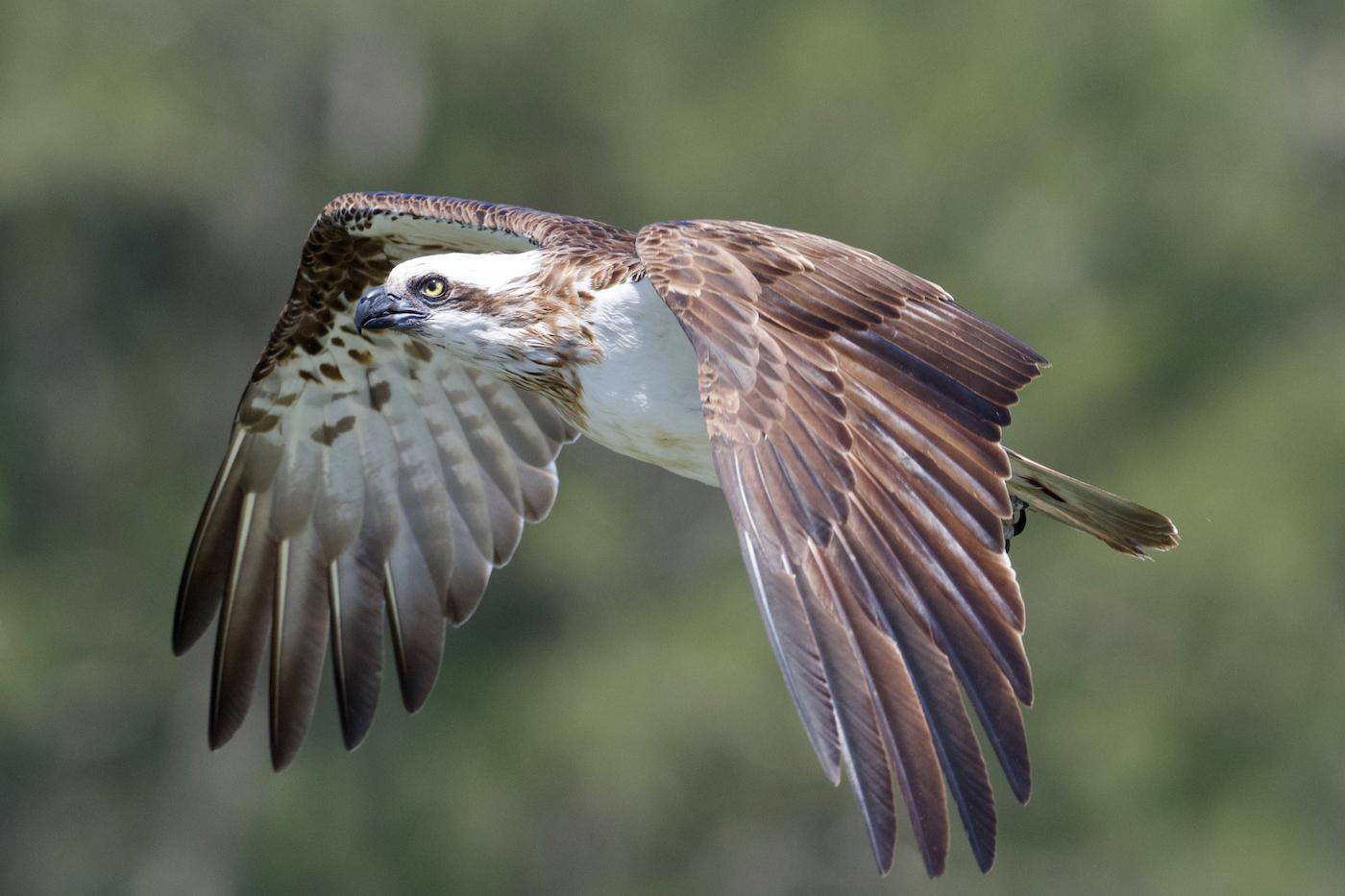 Osprey (Image ID 42702)