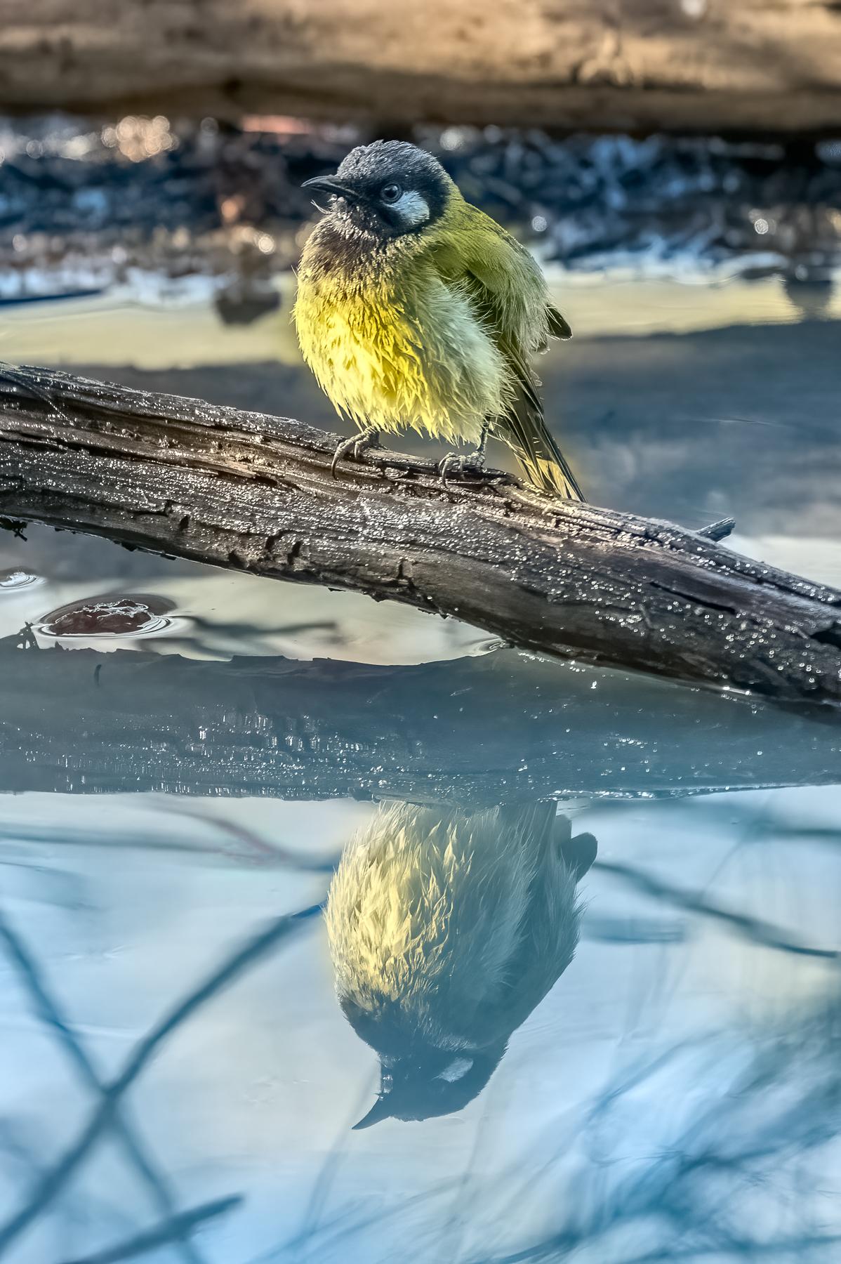 White-eared Honeyeater (Image ID 43063)
