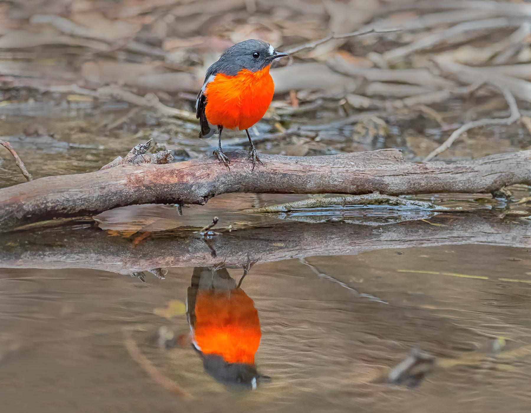 Flame Robin (Image ID 43091)