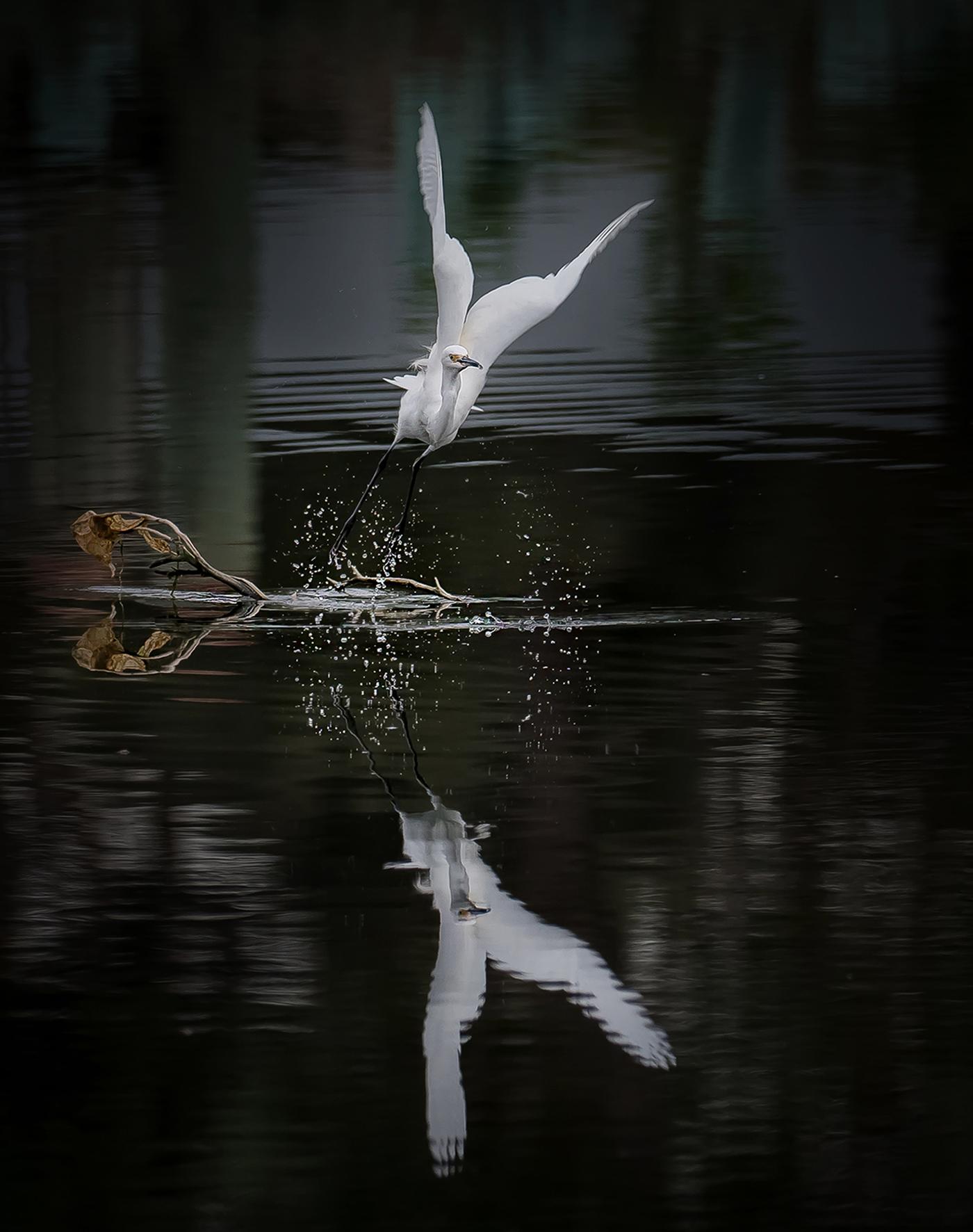 Little Egret (Image ID 43093)
