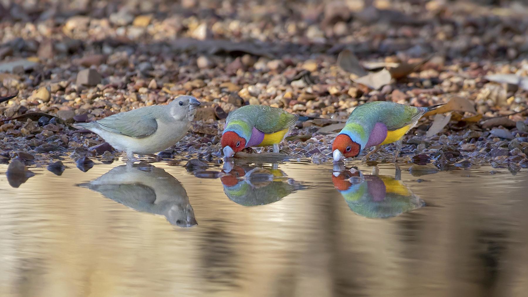 Gouldian Finch (Image ID 42900)