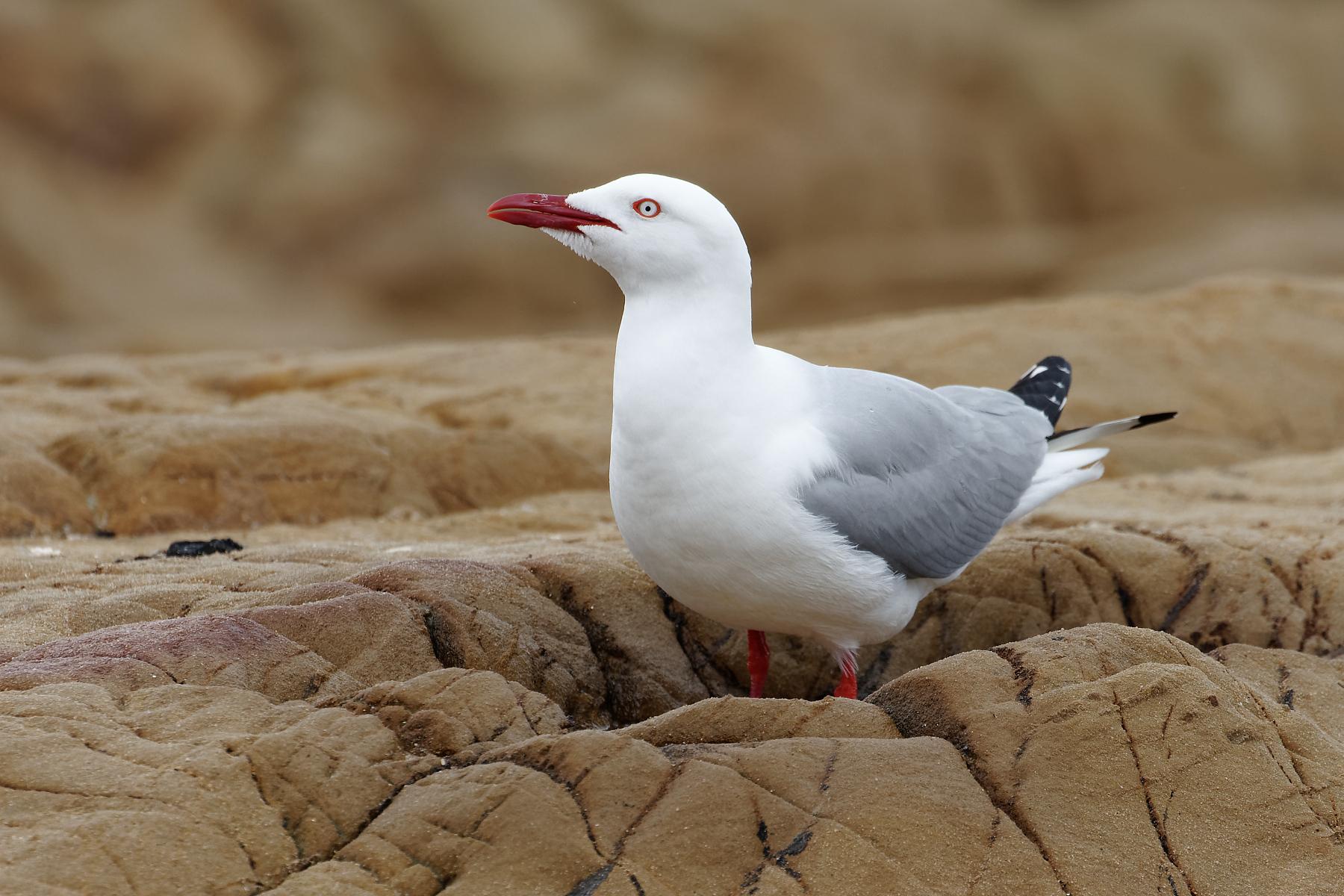Silver Gull (Image ID 42956)