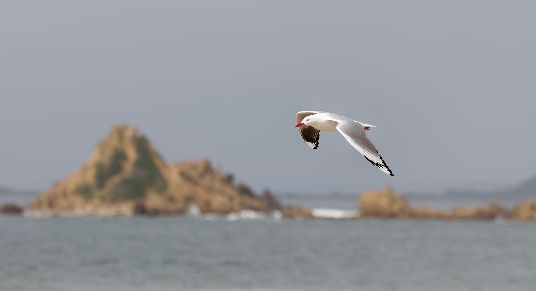 Silver Gull (Image ID 42955)