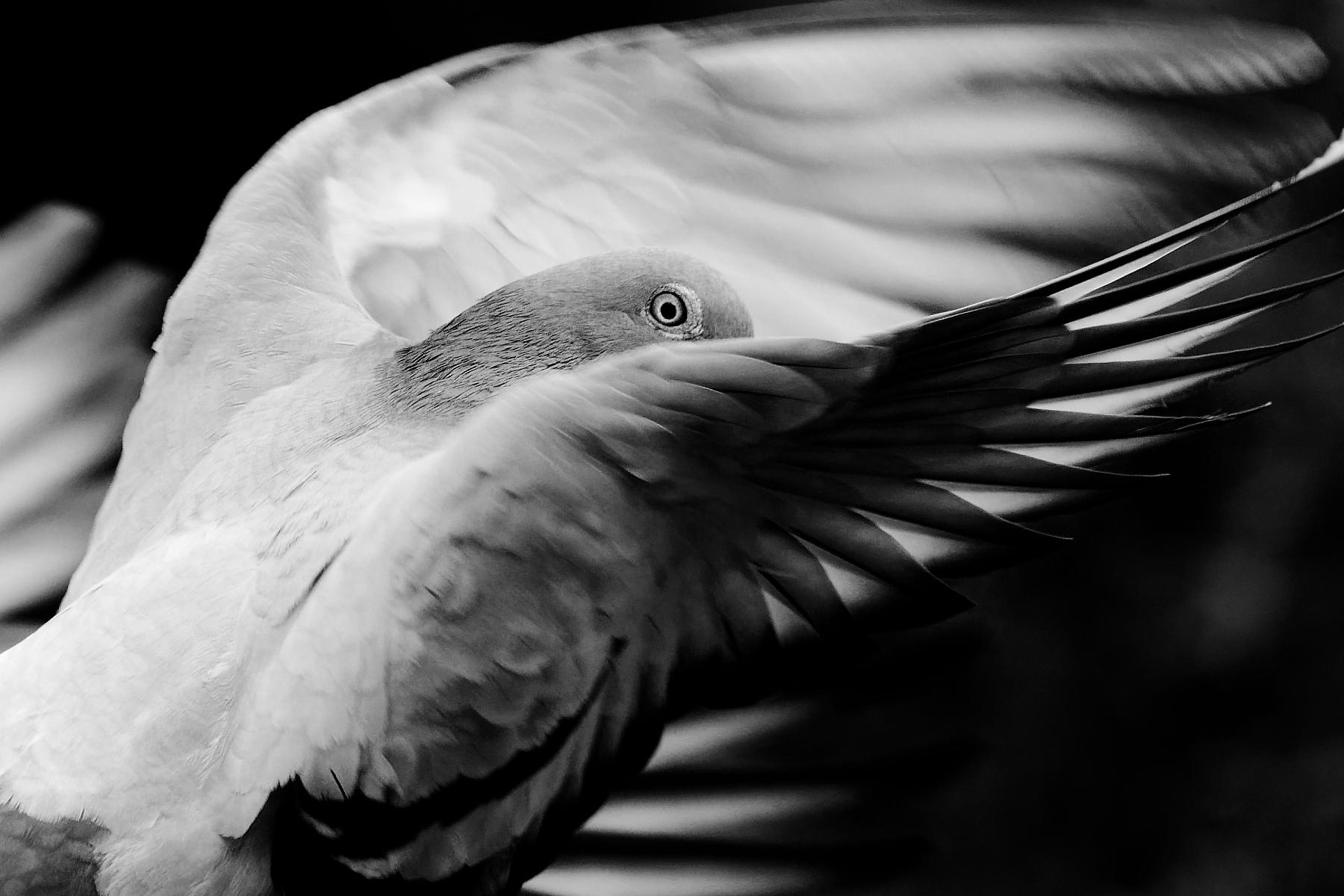 Rock Dove (Image ID 42957)