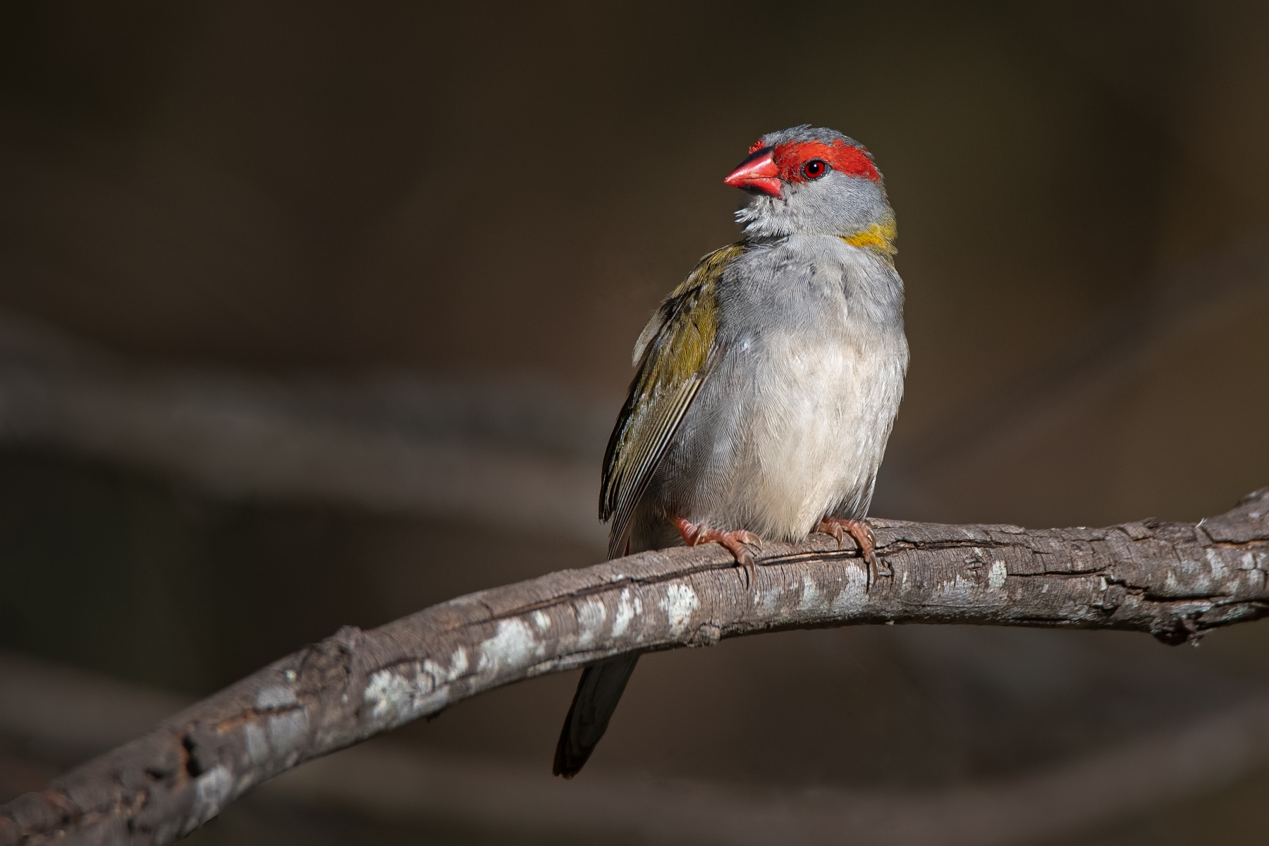 Red-browed Finch (Image ID 42776)