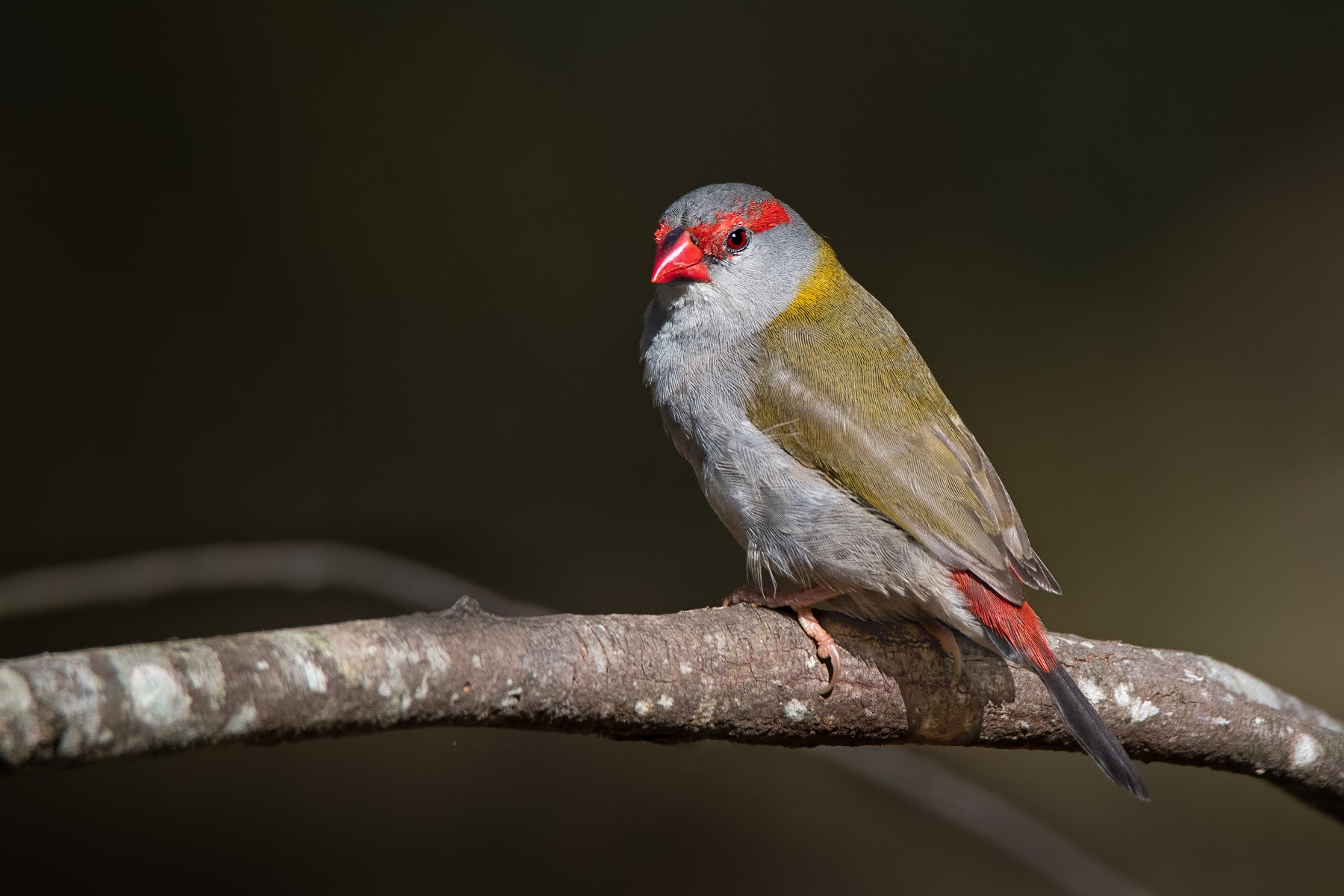 Red-browed Finch (Image ID 42778)