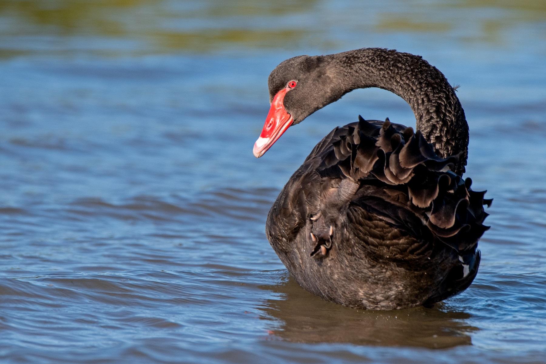 Black Swan (Image ID 43134)