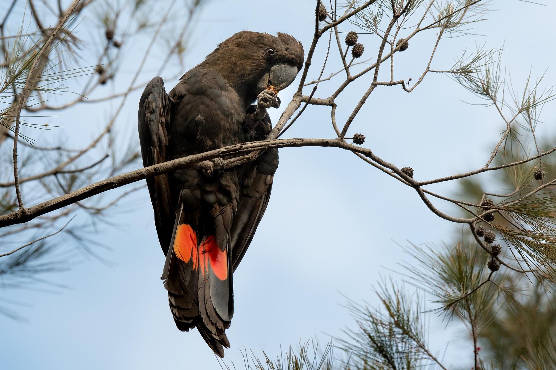 Glossy Black-Cockatoo (Image ID 43135)